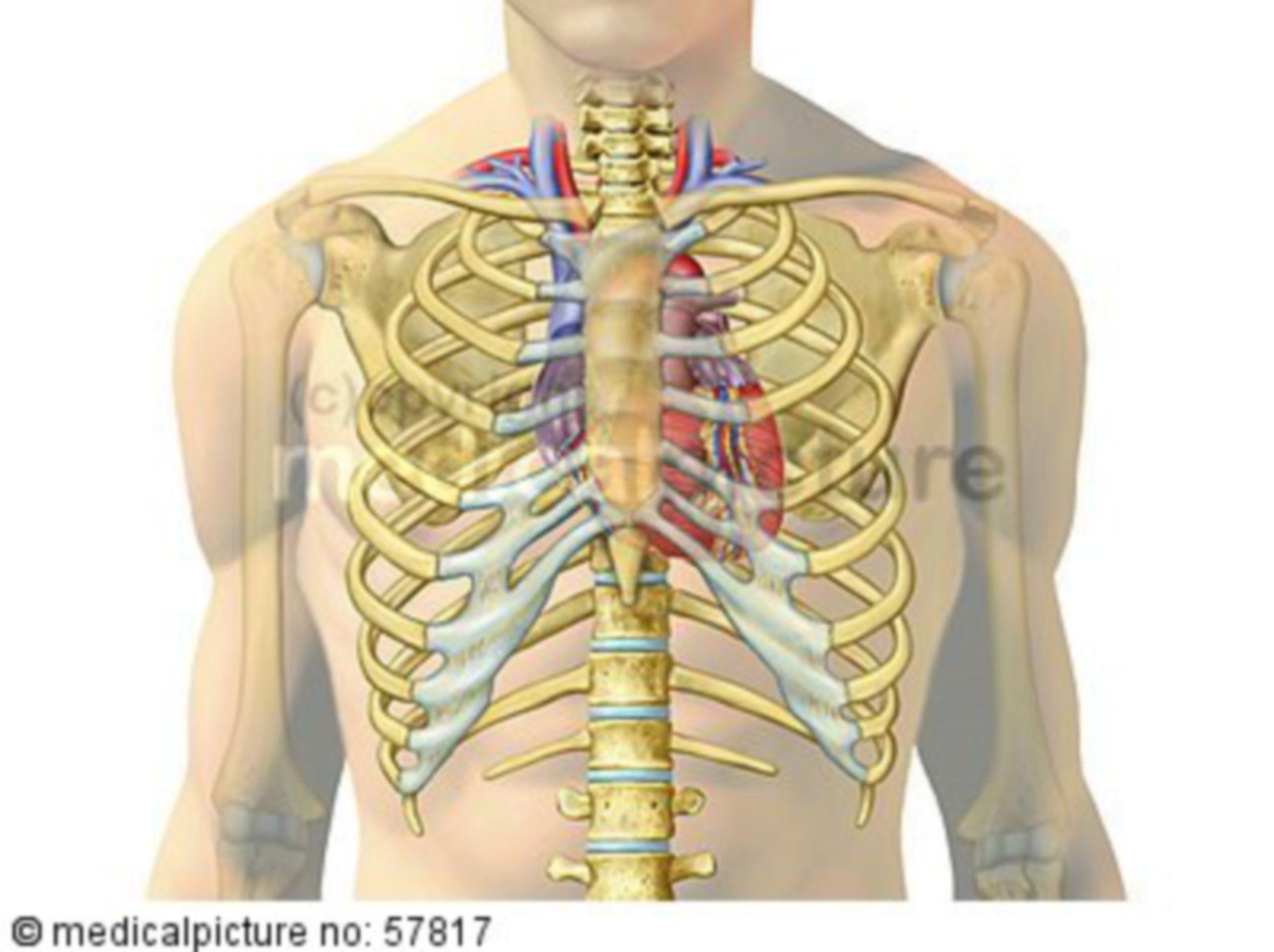 Illustrazioni anatomiche - Cuore con annessi torace