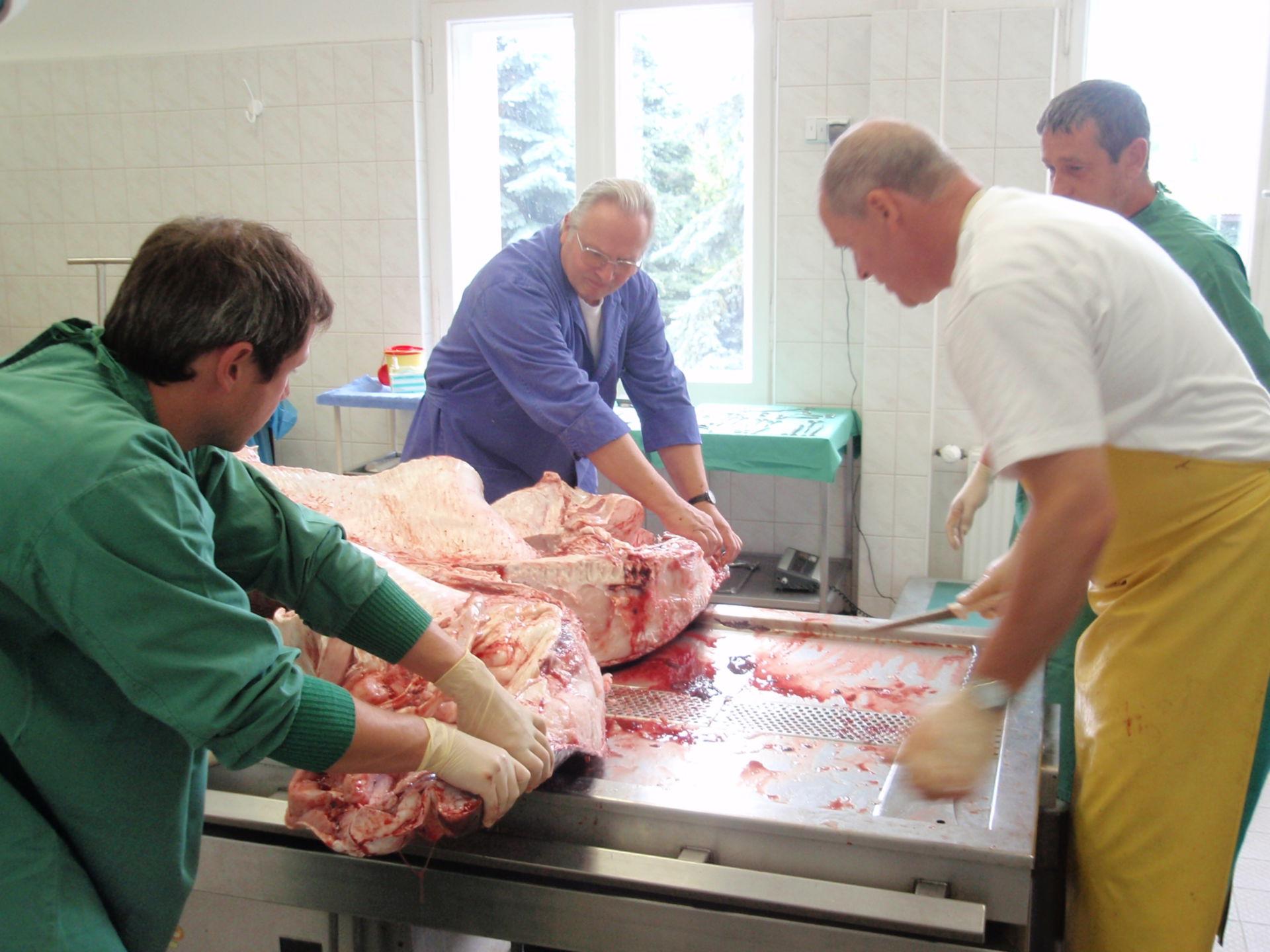 Cervical fracture - sandtiger shark (3)