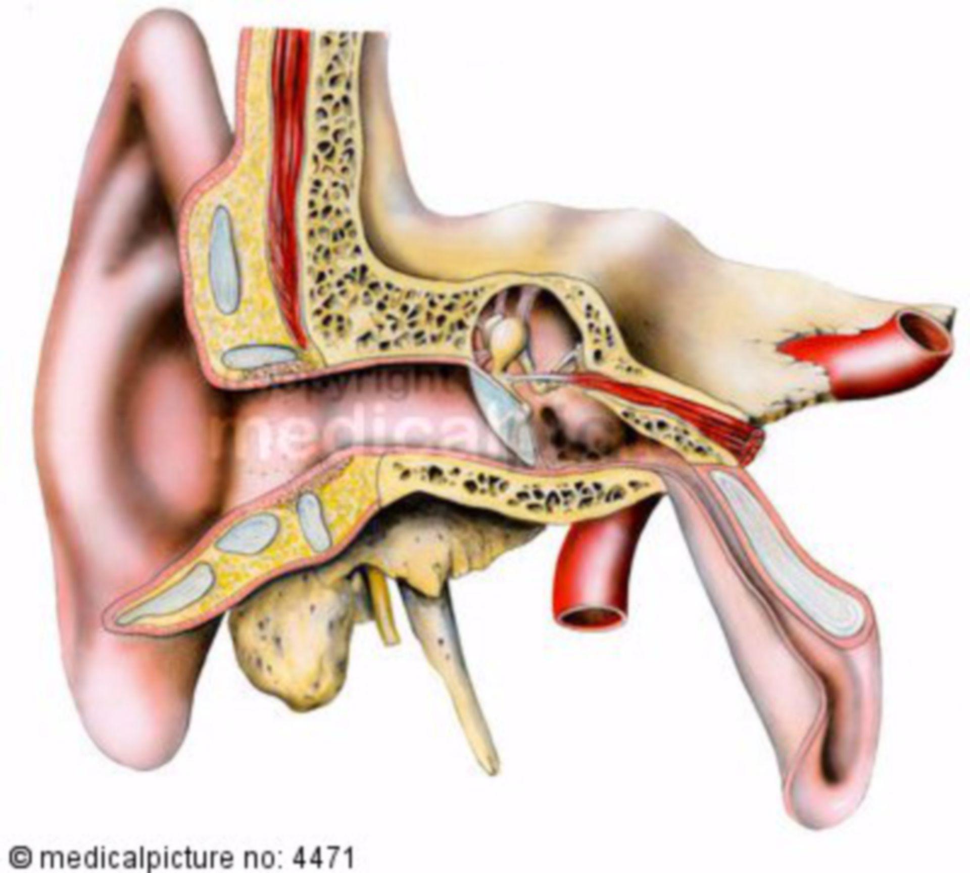 Parti di orecchio umano