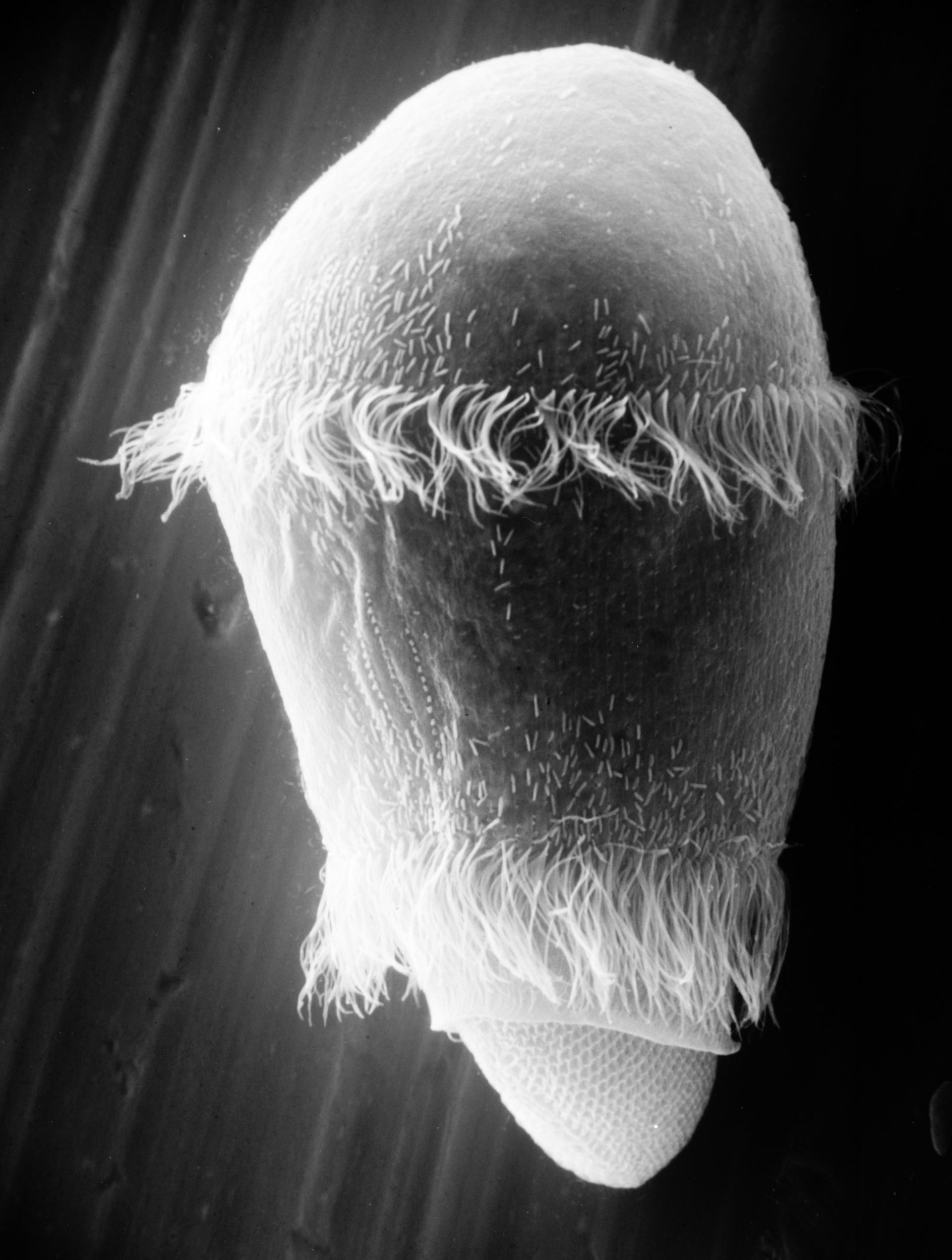 Paramecium sp. (simbiosi extracellulare) - CIL:21992