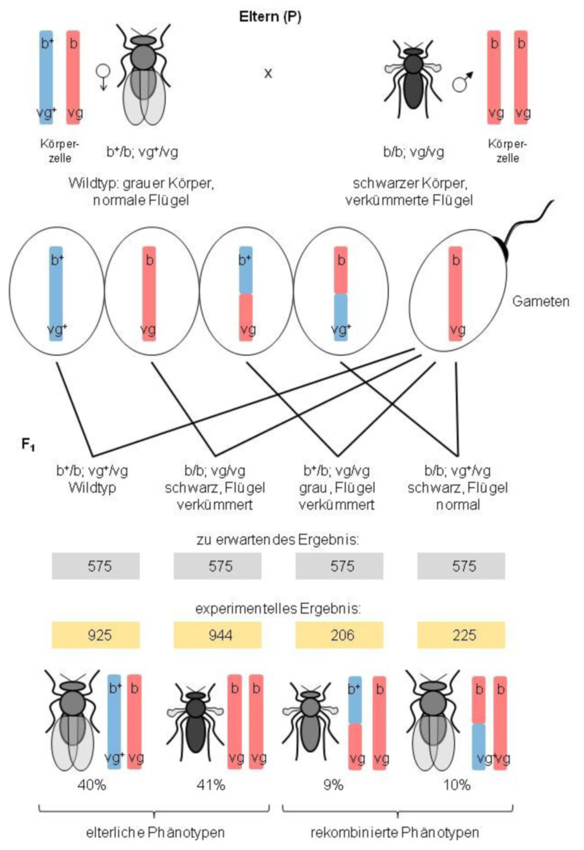 Crossbreeding with heterozygous Drosophila females and homozygous males
