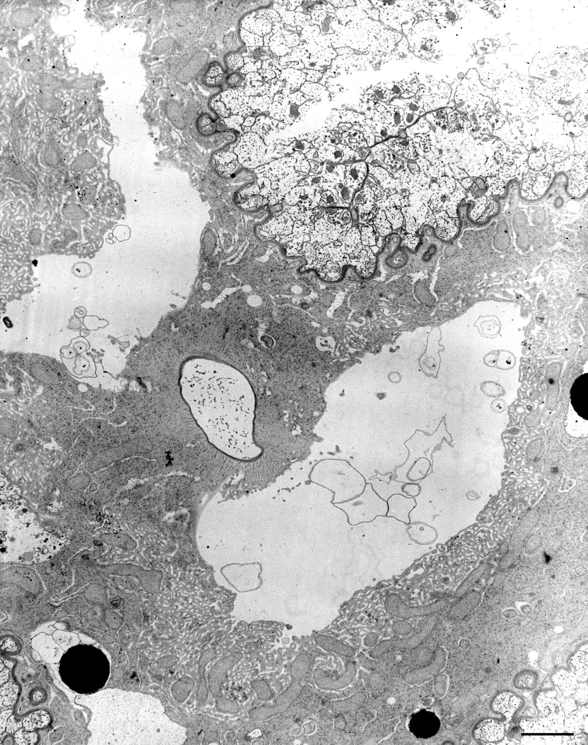 Nassula (citoplasma) - CIL:12312