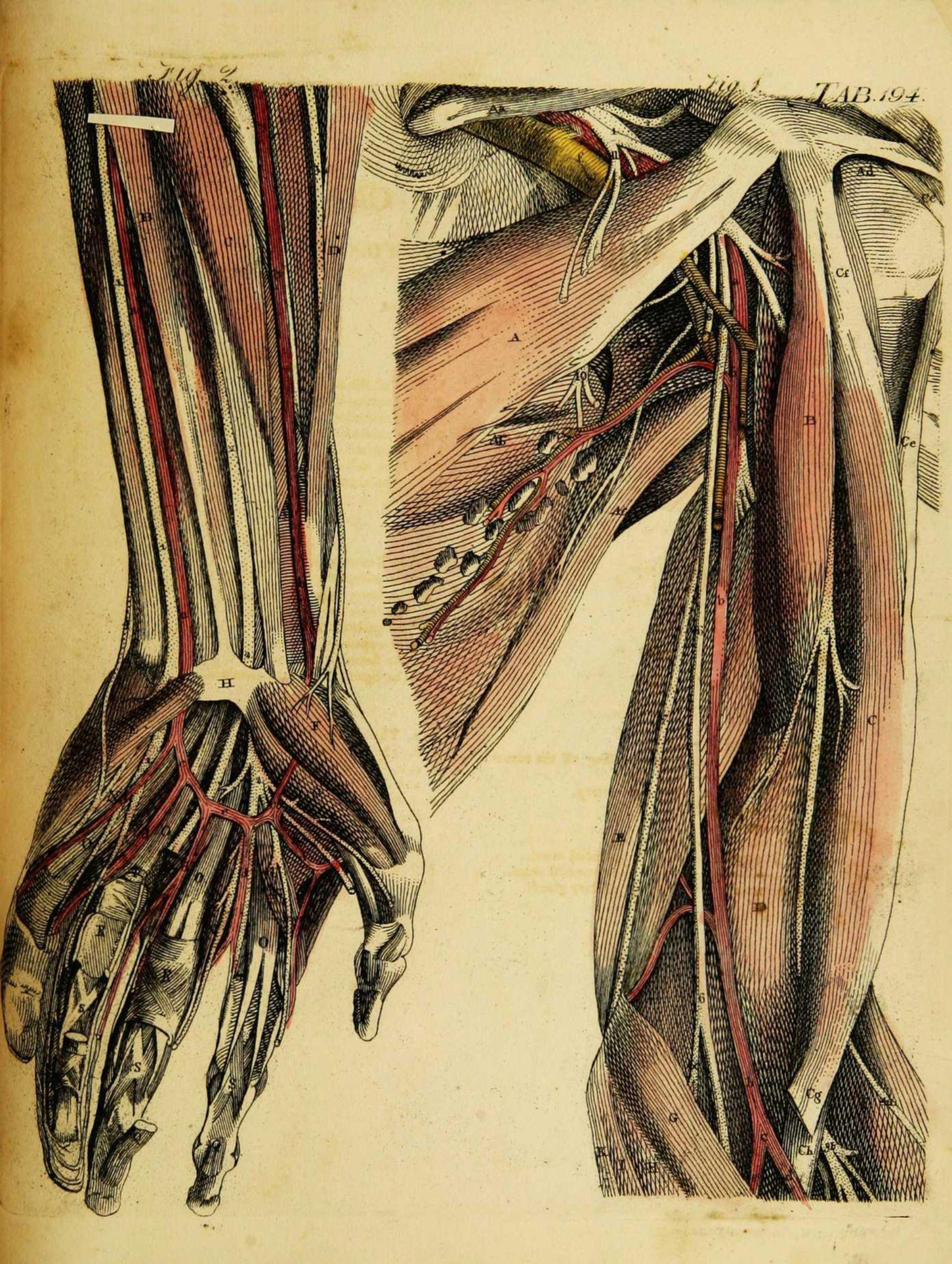 Arterielles System Arm