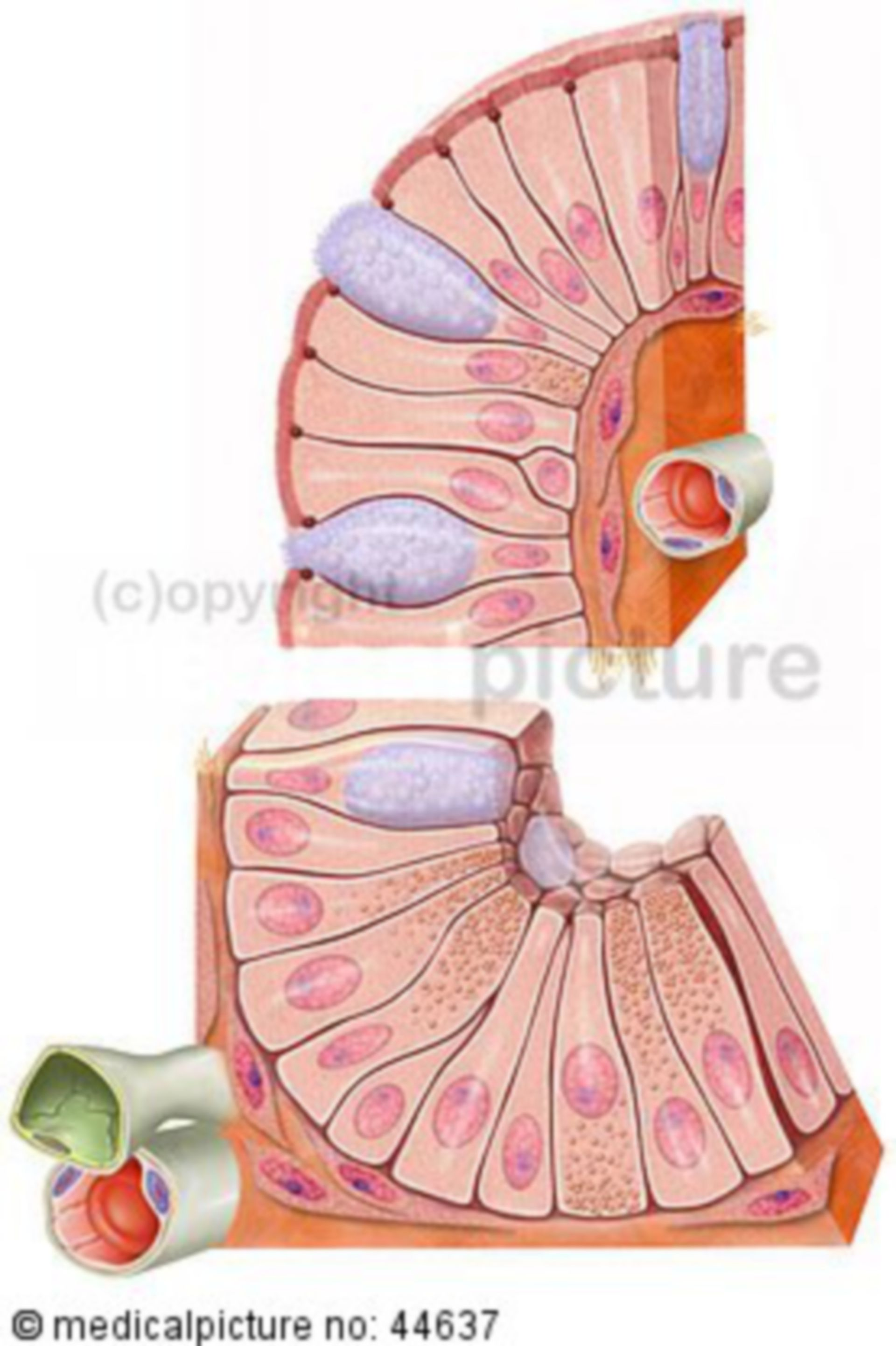 Cells of the small intestine - jejunum with vessels