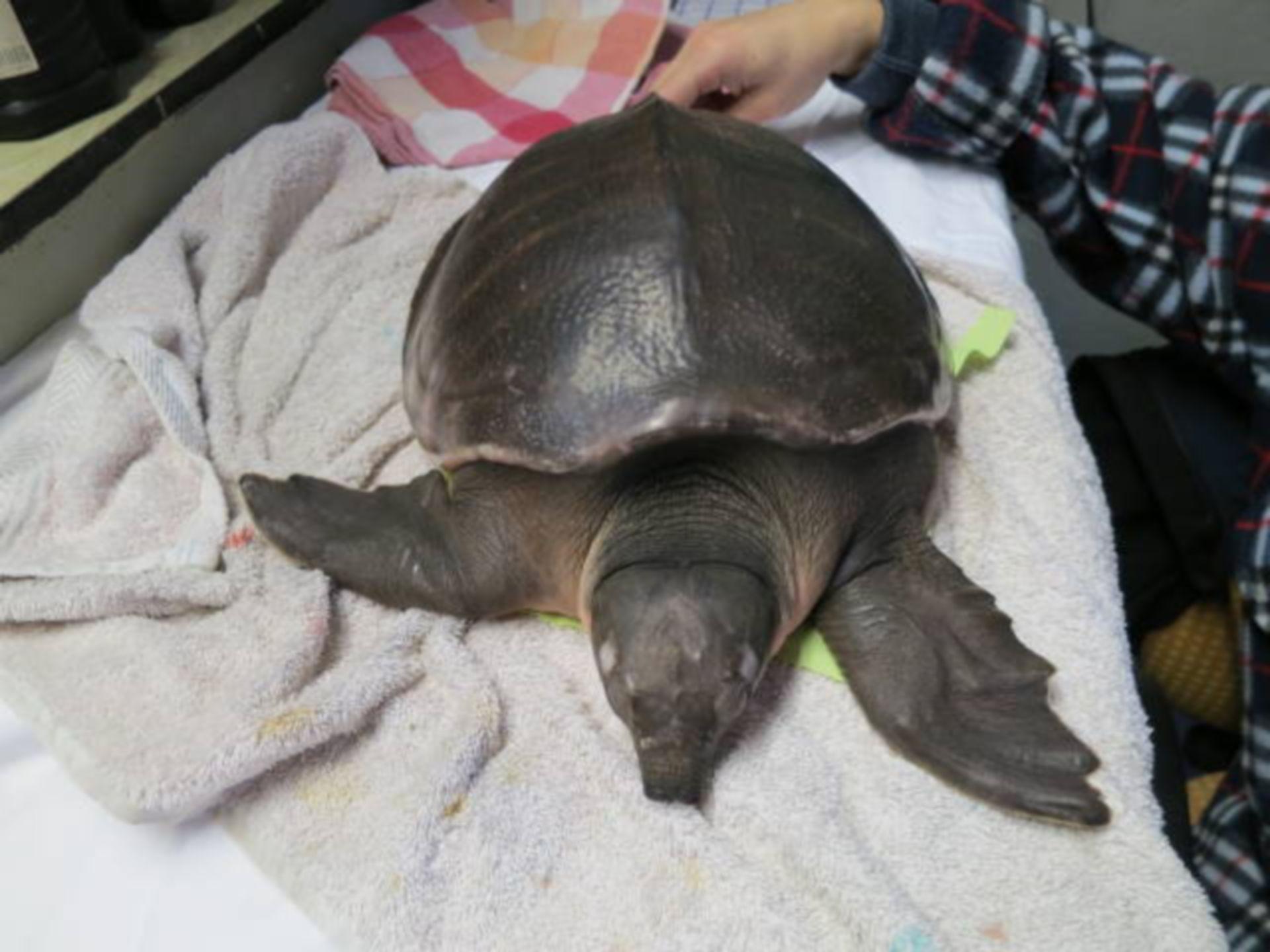 Daños en una tortuga de caparazón blando 5