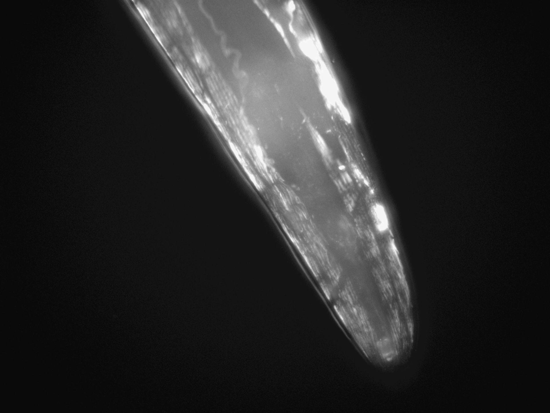 Caenorhabditis elegans (Actin filament) - CIL:1305