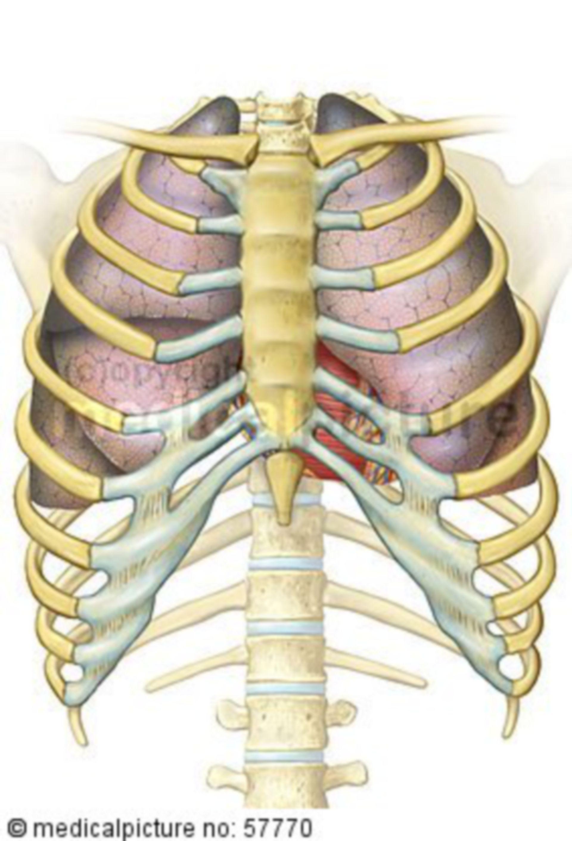 Ilustración anatómica - pulmones con el corazón en el tórax