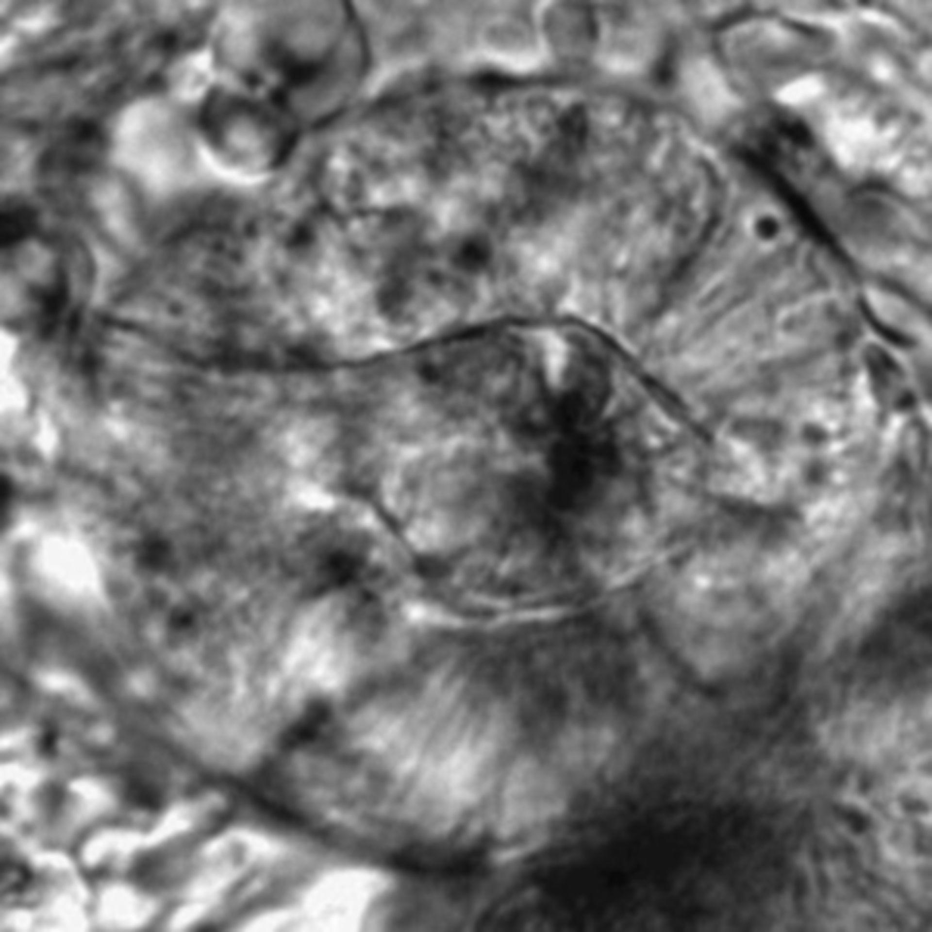 Caenorhabditis elegans - CIL:2597