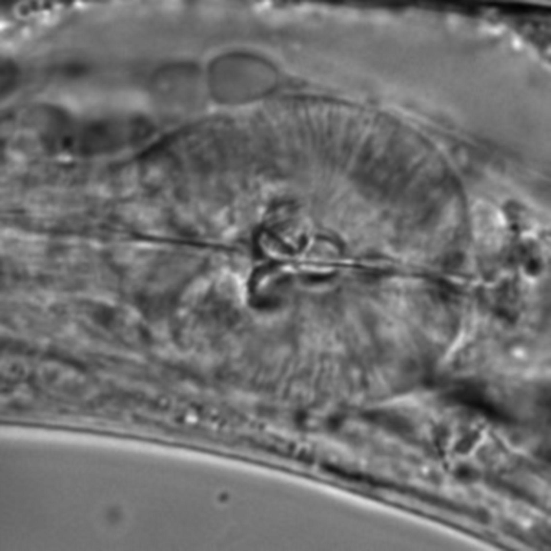 Caenorhabditis elegans - CIL:1603