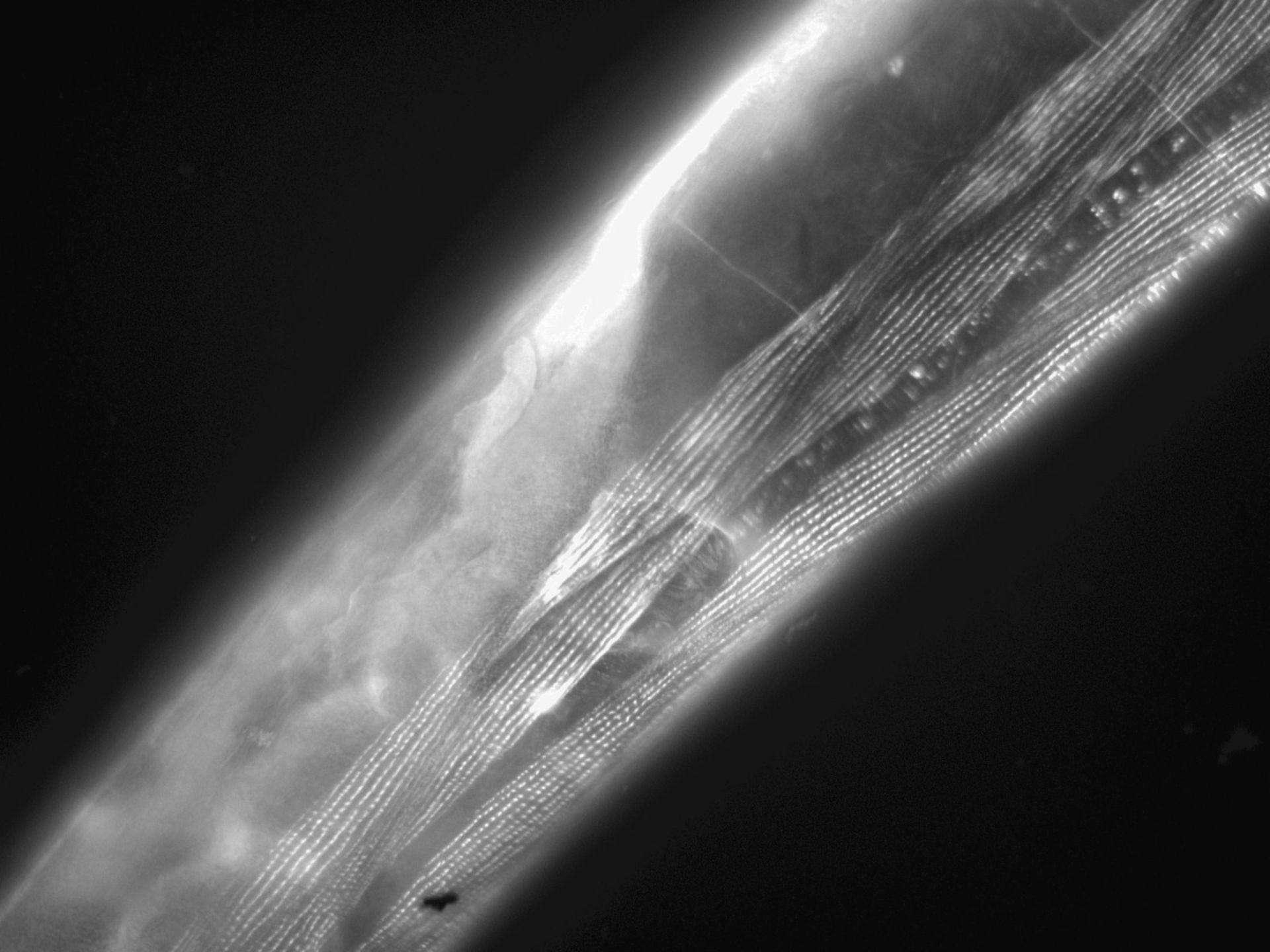 Caenorhabditis elegans (filamento di actina) - CIL:1136