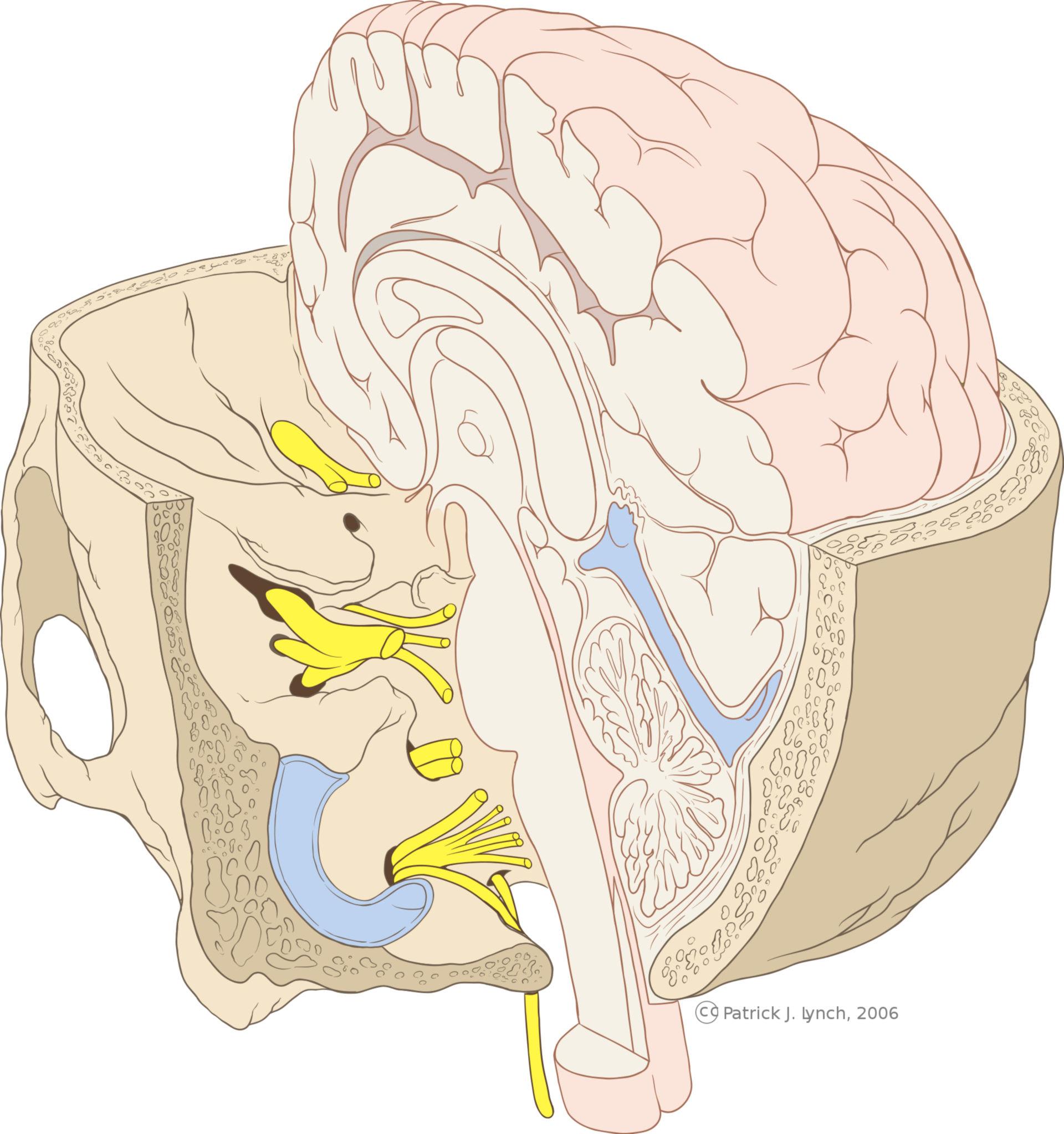 Schädel mit Hirnstamm (Illustration)