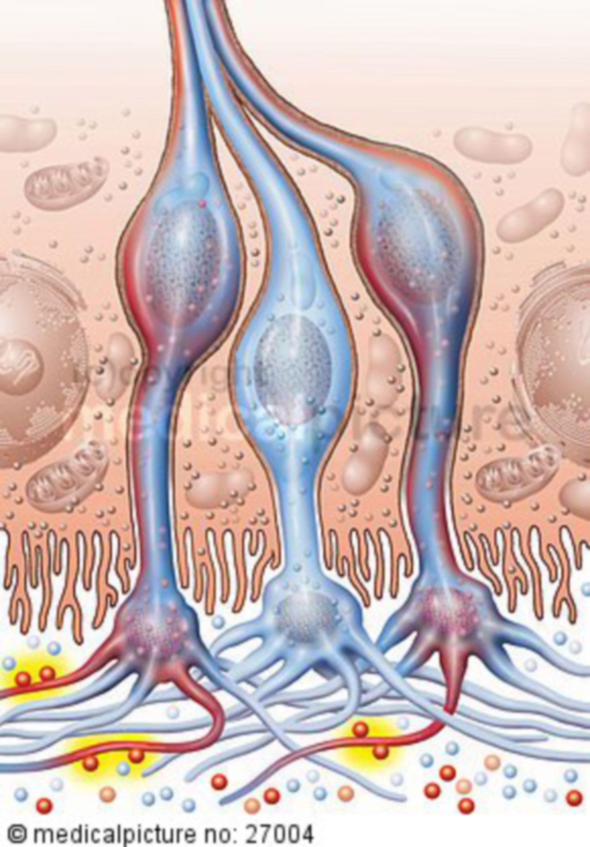 Olfactory cells with kinocilia