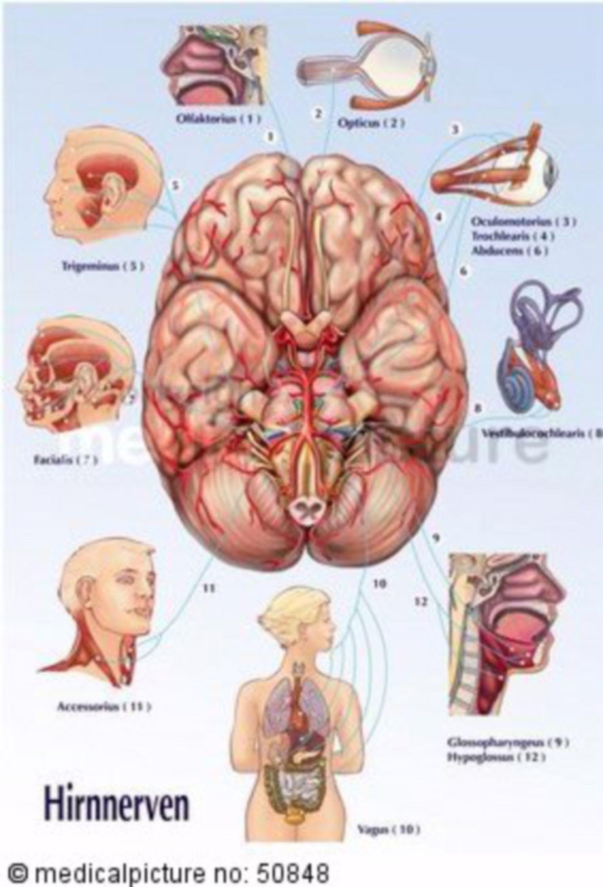 Hirnnerven und deren Versorgungsgebiete