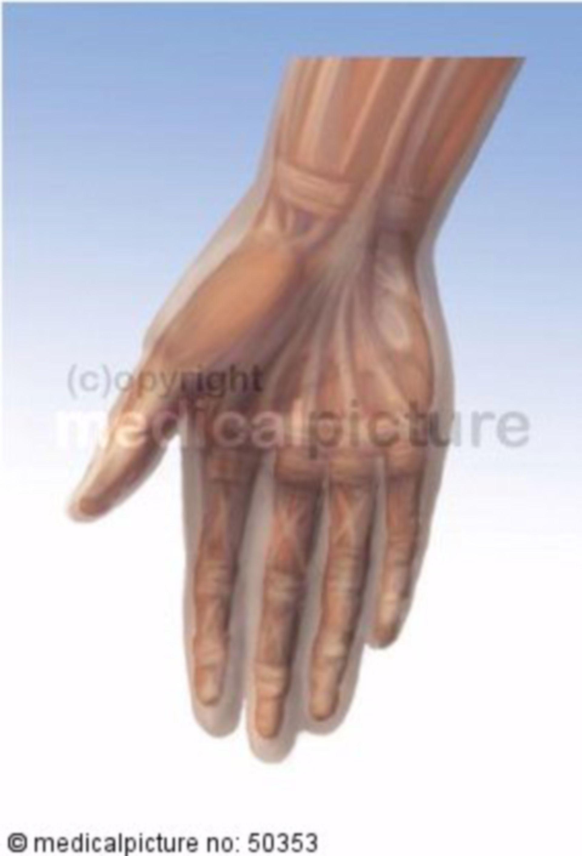 Muskeln der Hand