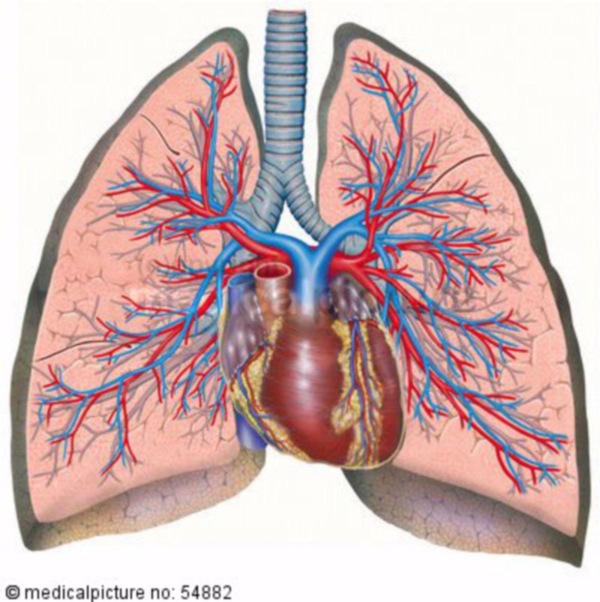 Thoracic organs