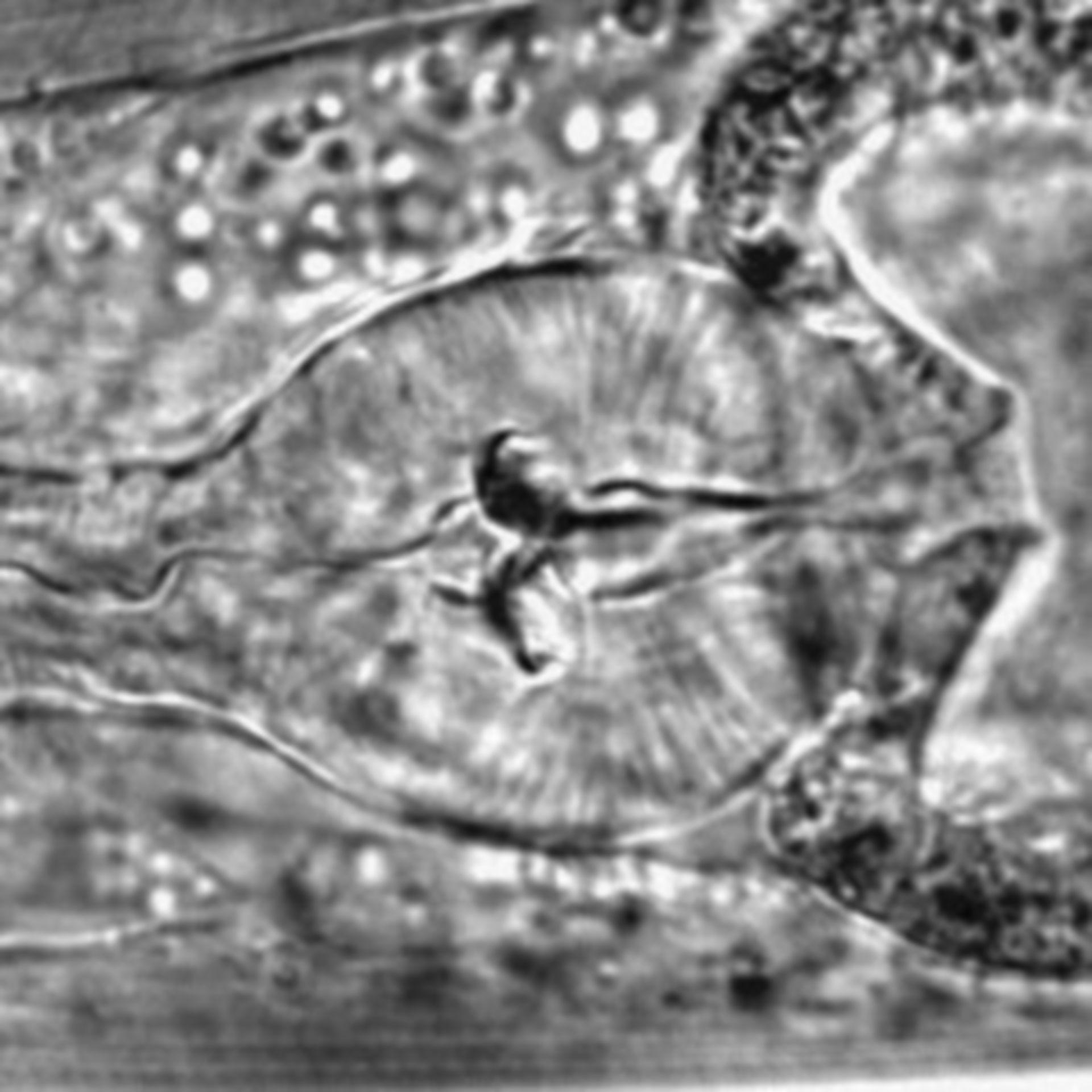 Caenorhabditis elegans - CIL:1633