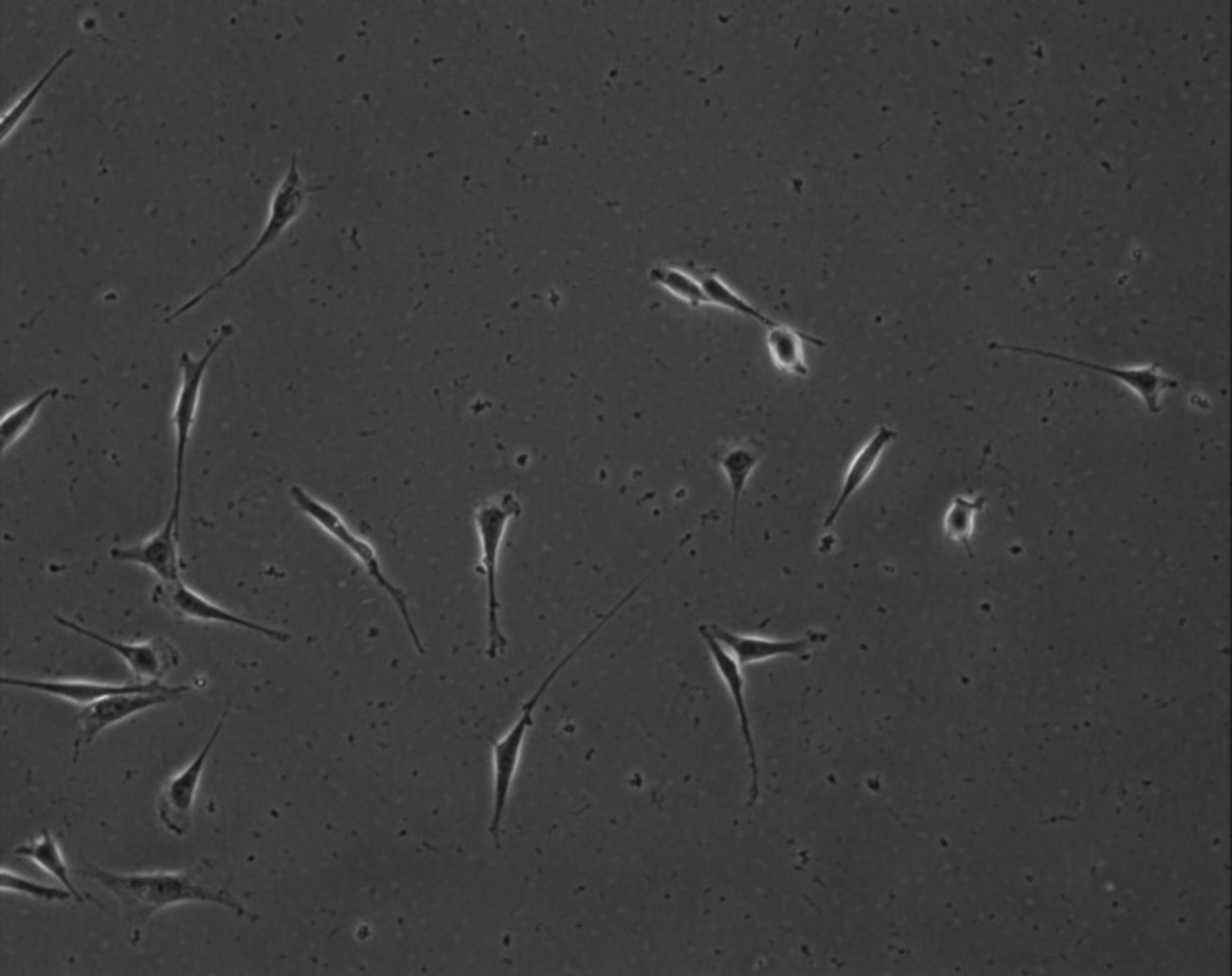 Mus musculus (Extracellular matrix part) - CIL:8918