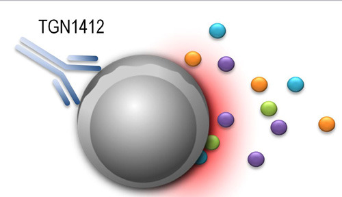 Im Fokus: T-Zell-vermittelte Immunreaktionen durch monoklonale Antikörper wie TGN1412. © PEI