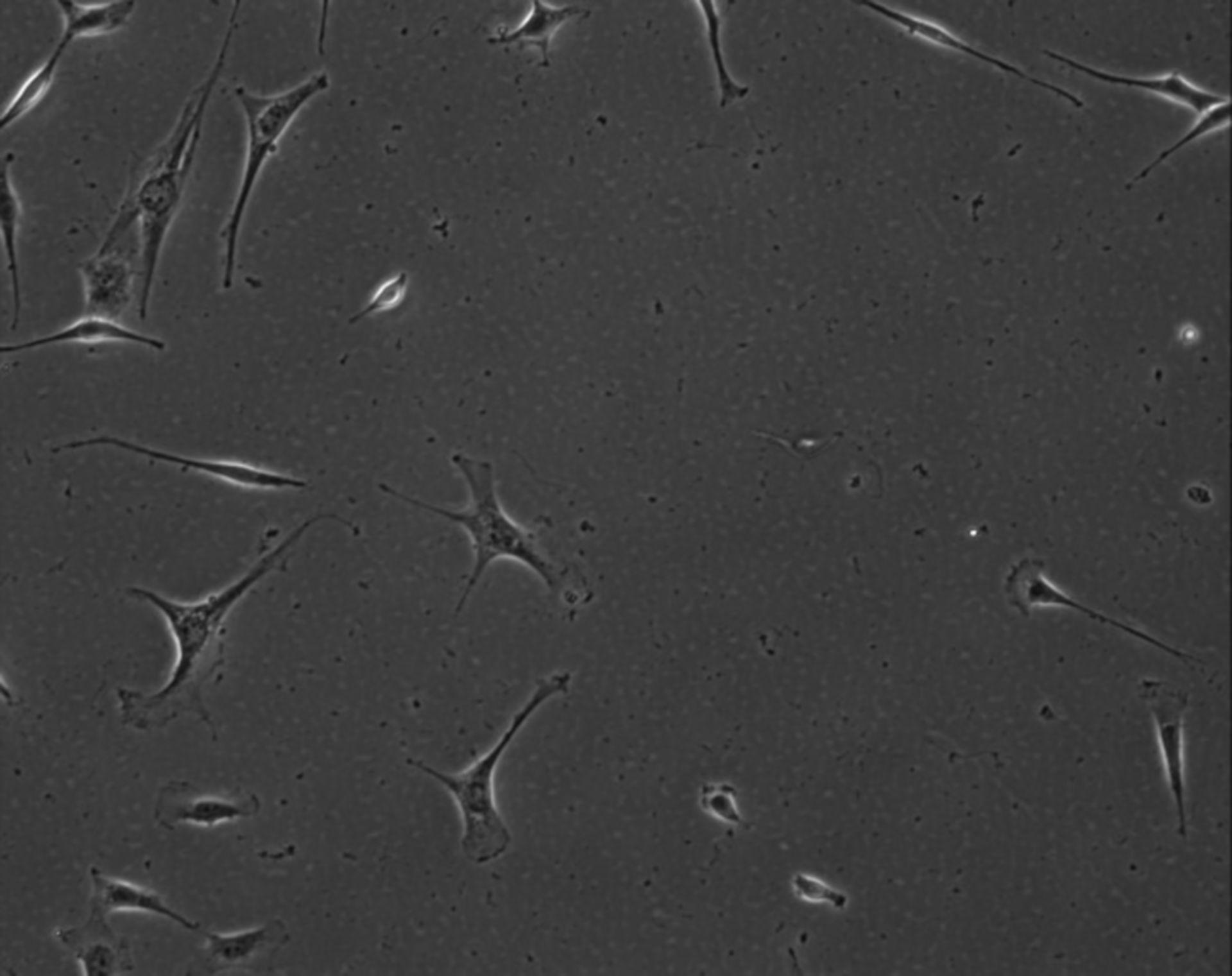 Mus musculus (Extracellular matrix part) - CIL:8997