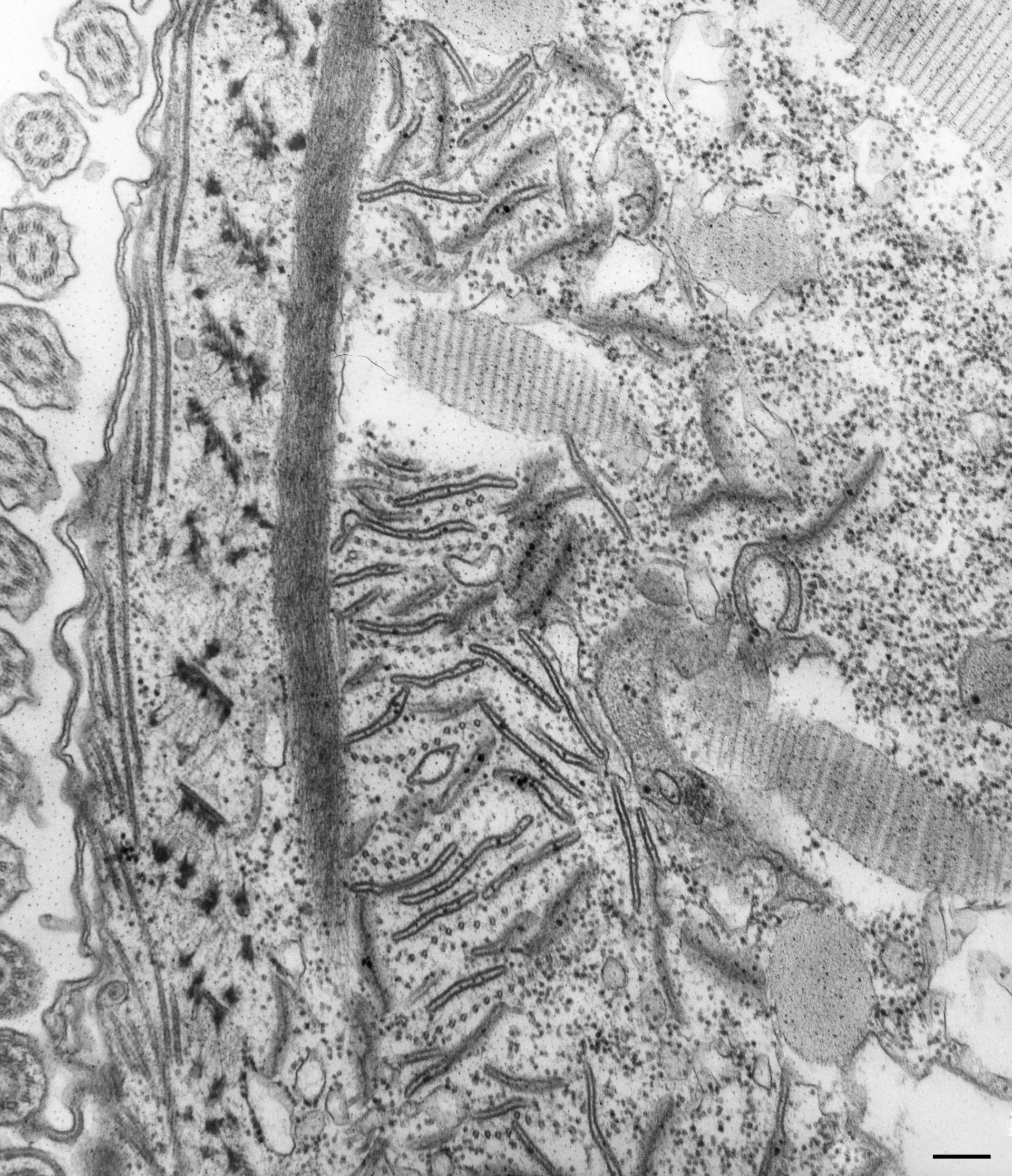 Paramecium caudatum (complesso associato ai microtubuli) - CIL:36782