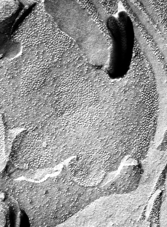 Prochloron (Thylakoid) - CIL:16232