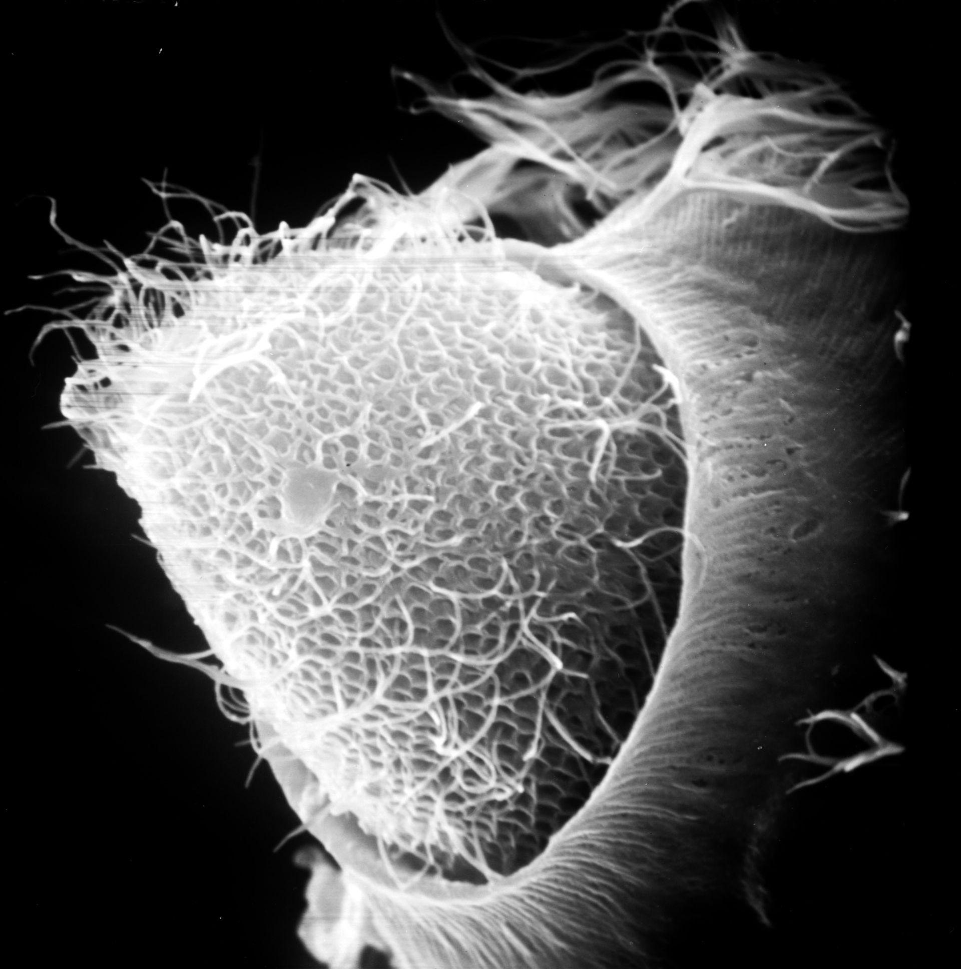 Paramecium sp. (superficie cellulare) - CIL:39248