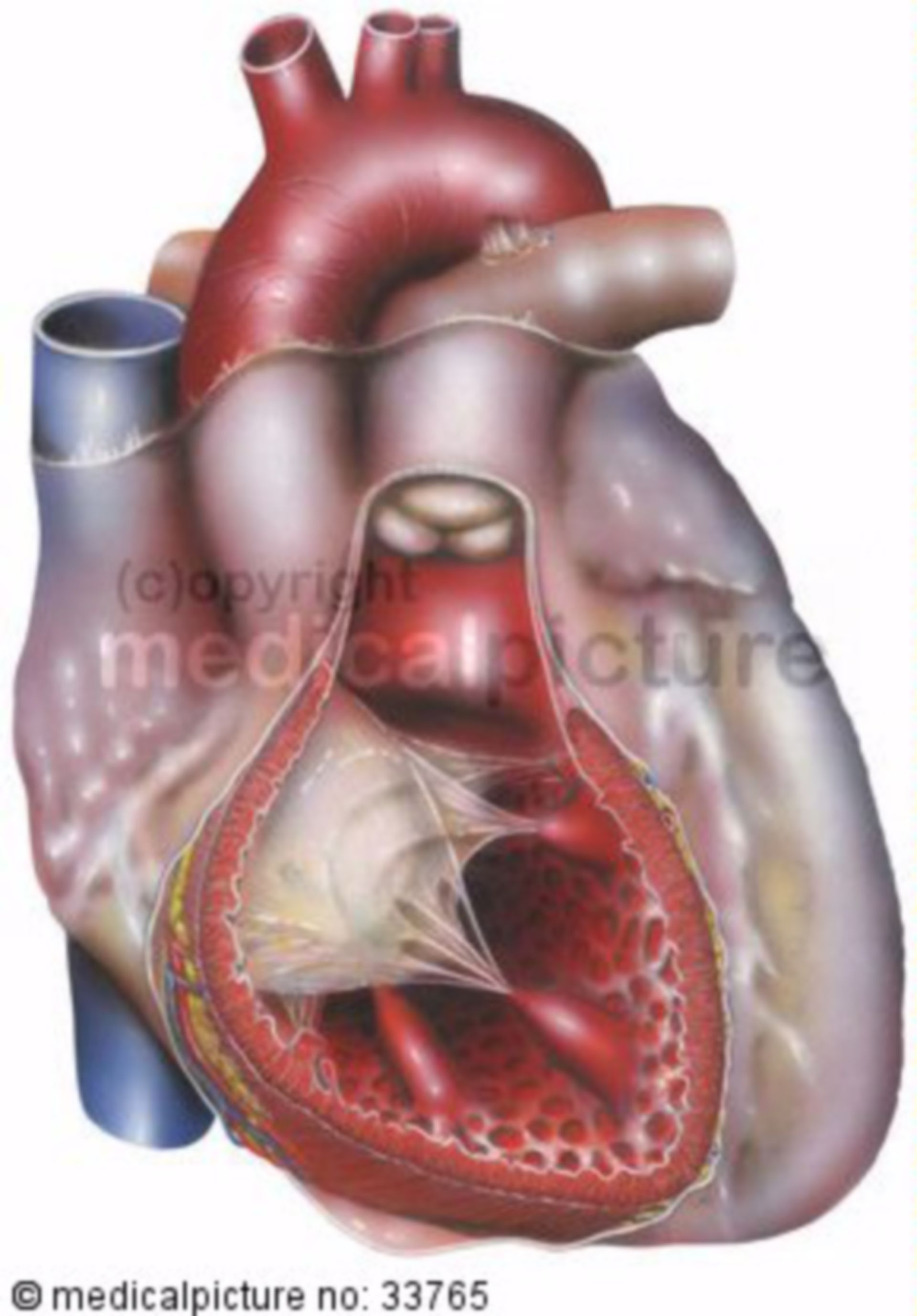 Heart, Right Ventricle