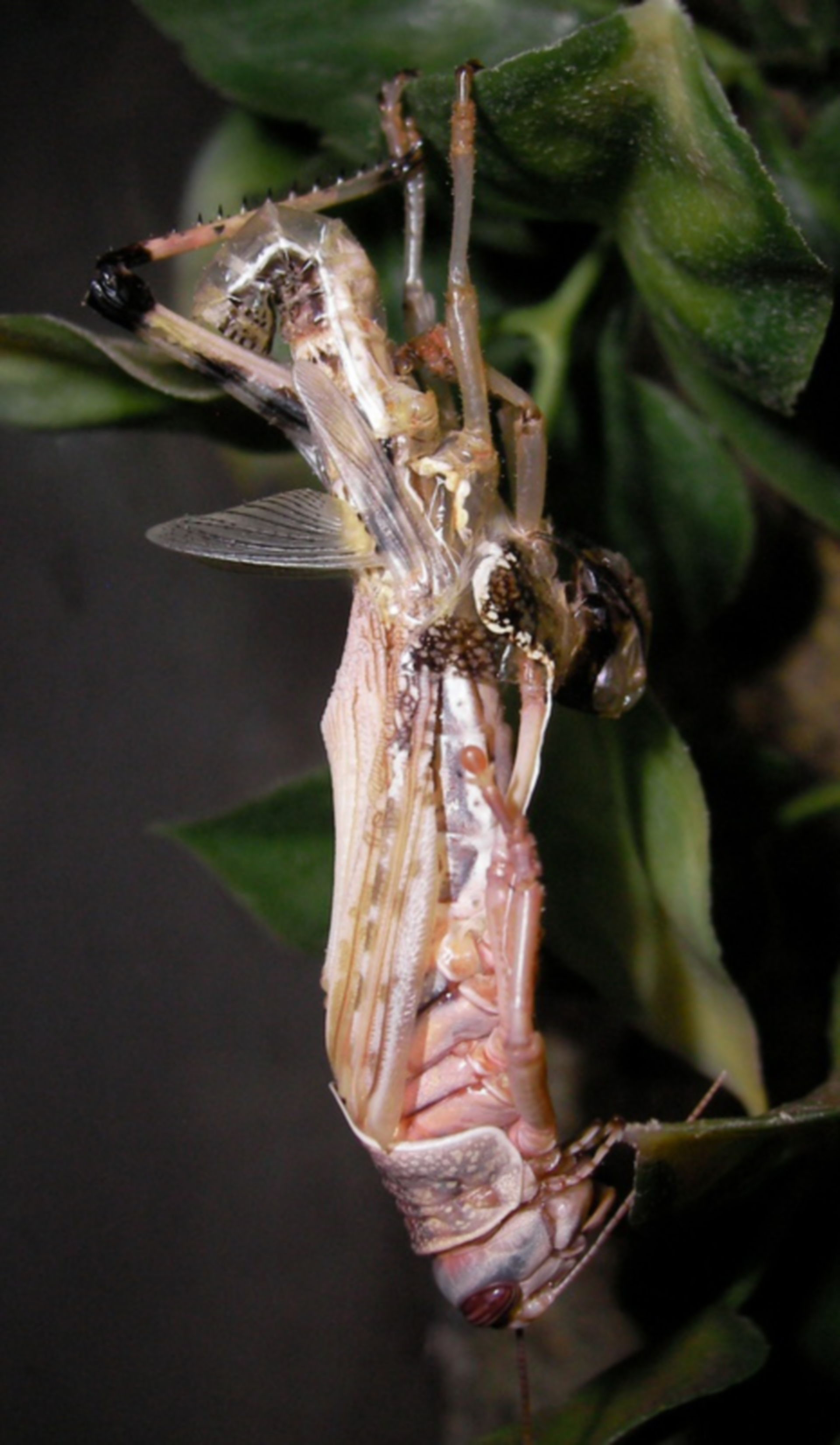 Häutung (Wüstenheuschrecke)