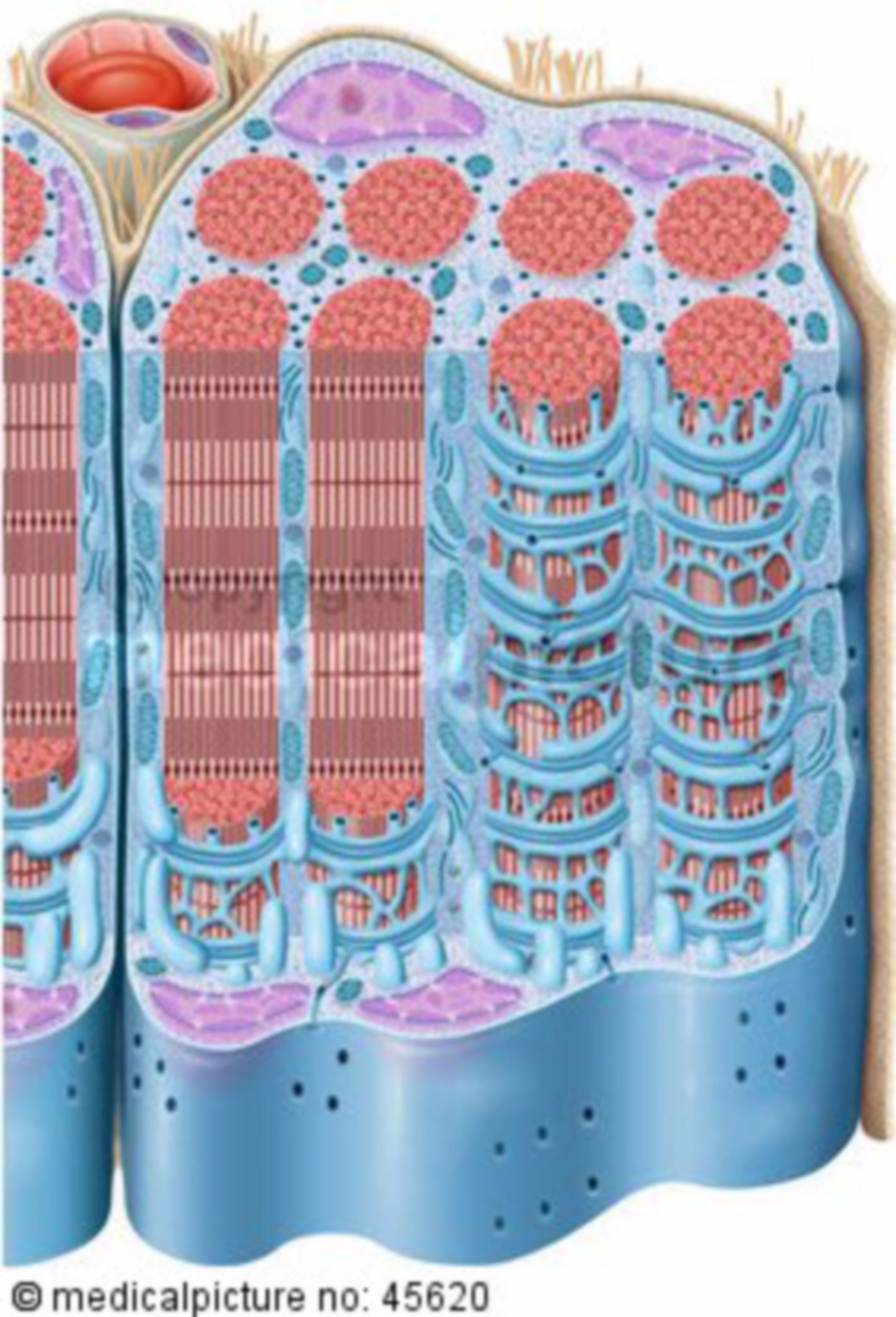 Skeletal musculature