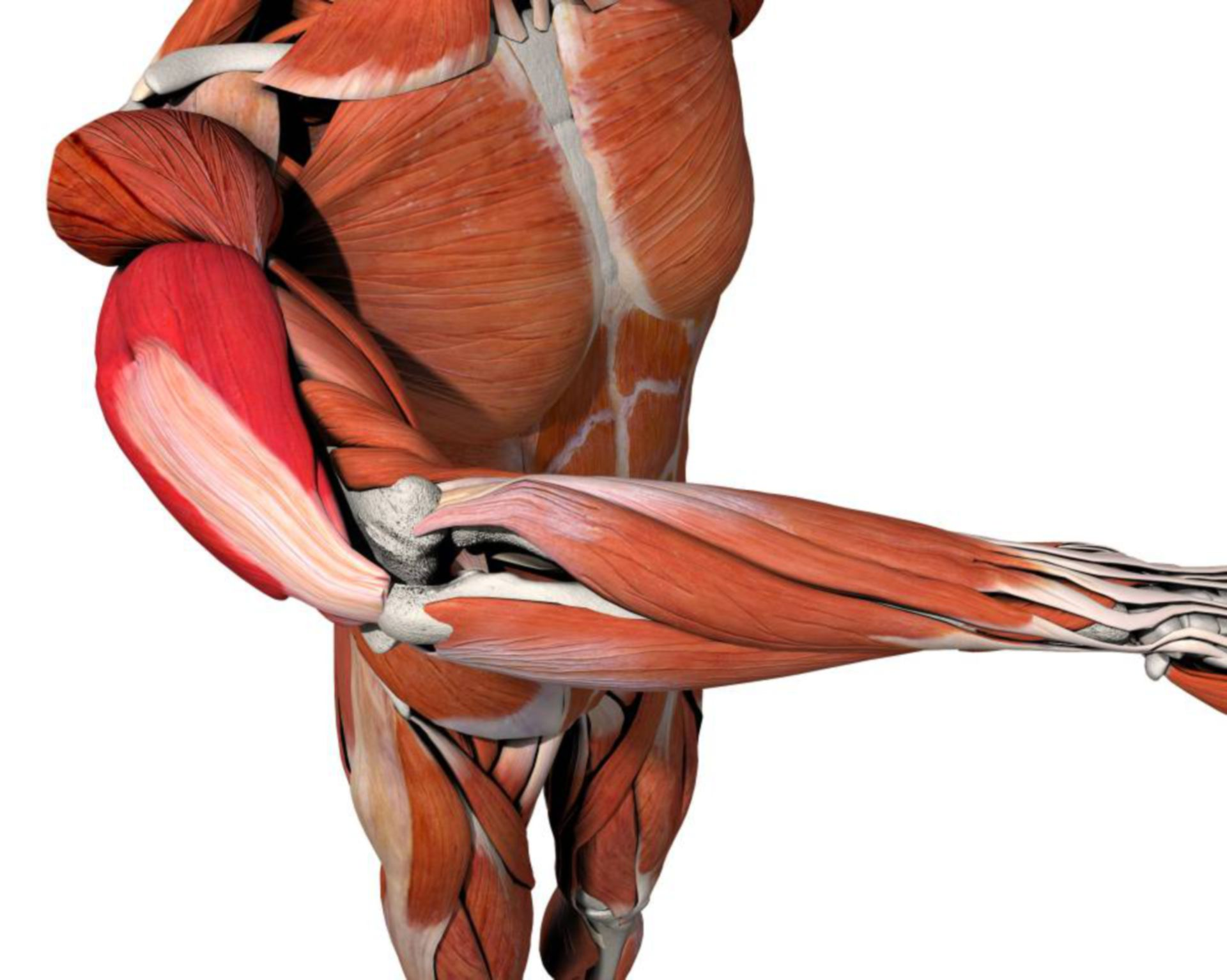 Musculus triceps brachii, triceps muscle