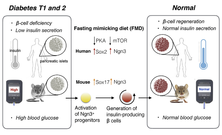Fasting Mimicking Diet Promotes Ngn3 Driven β Cell Regeneration to Reverse Diabetes