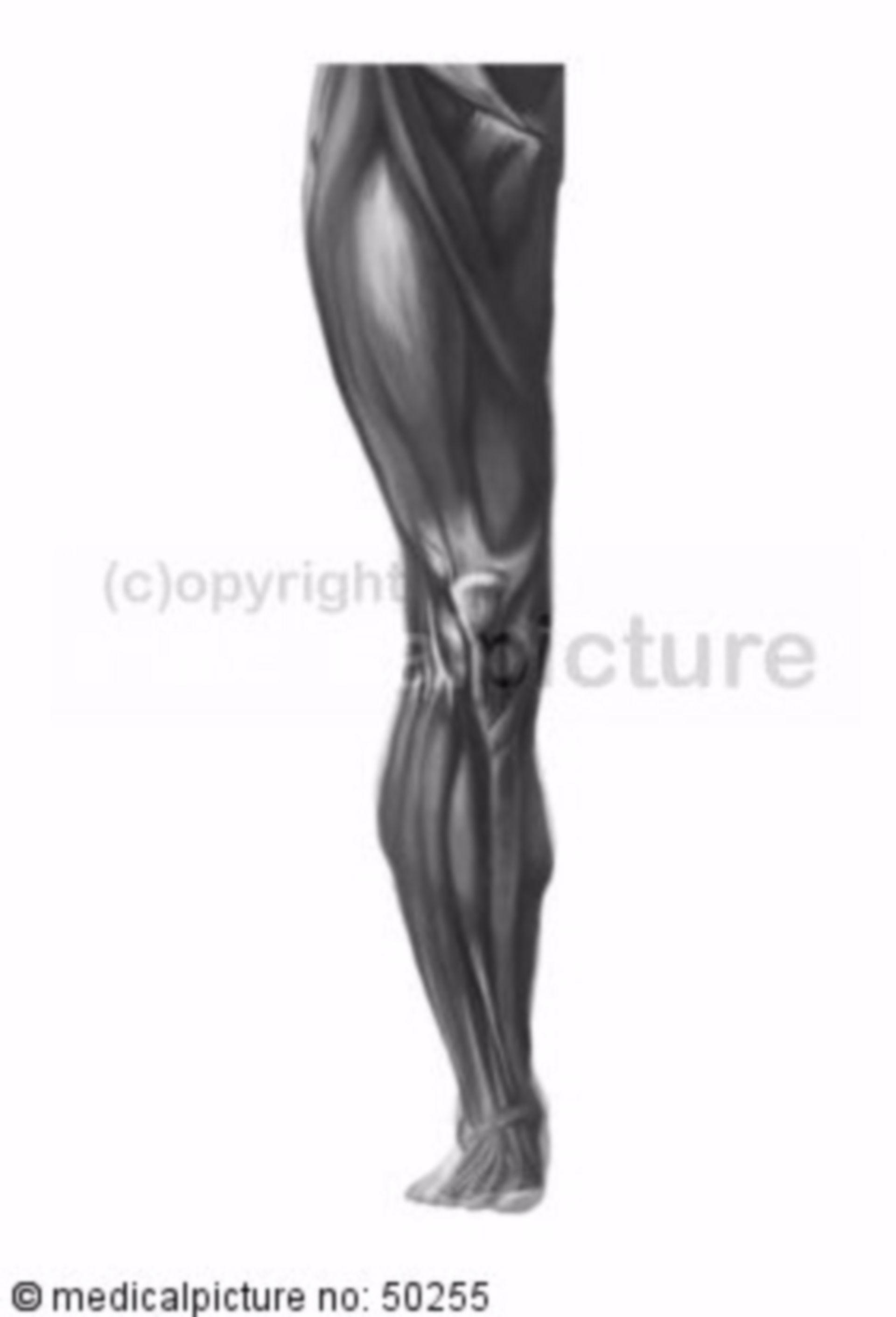 Plastische Darstellung des Bein-Skelettes