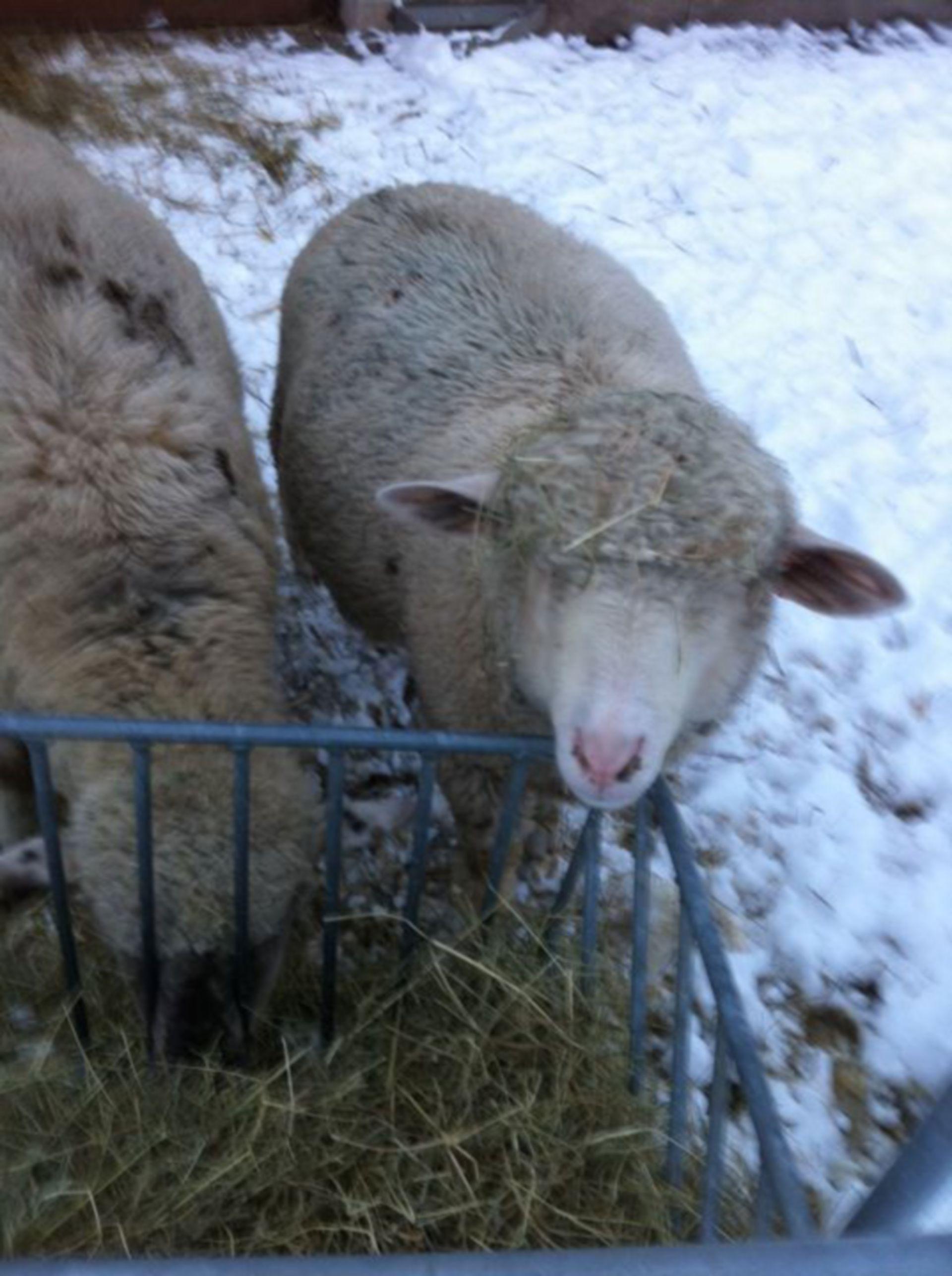 Sheep - Adulti (2)