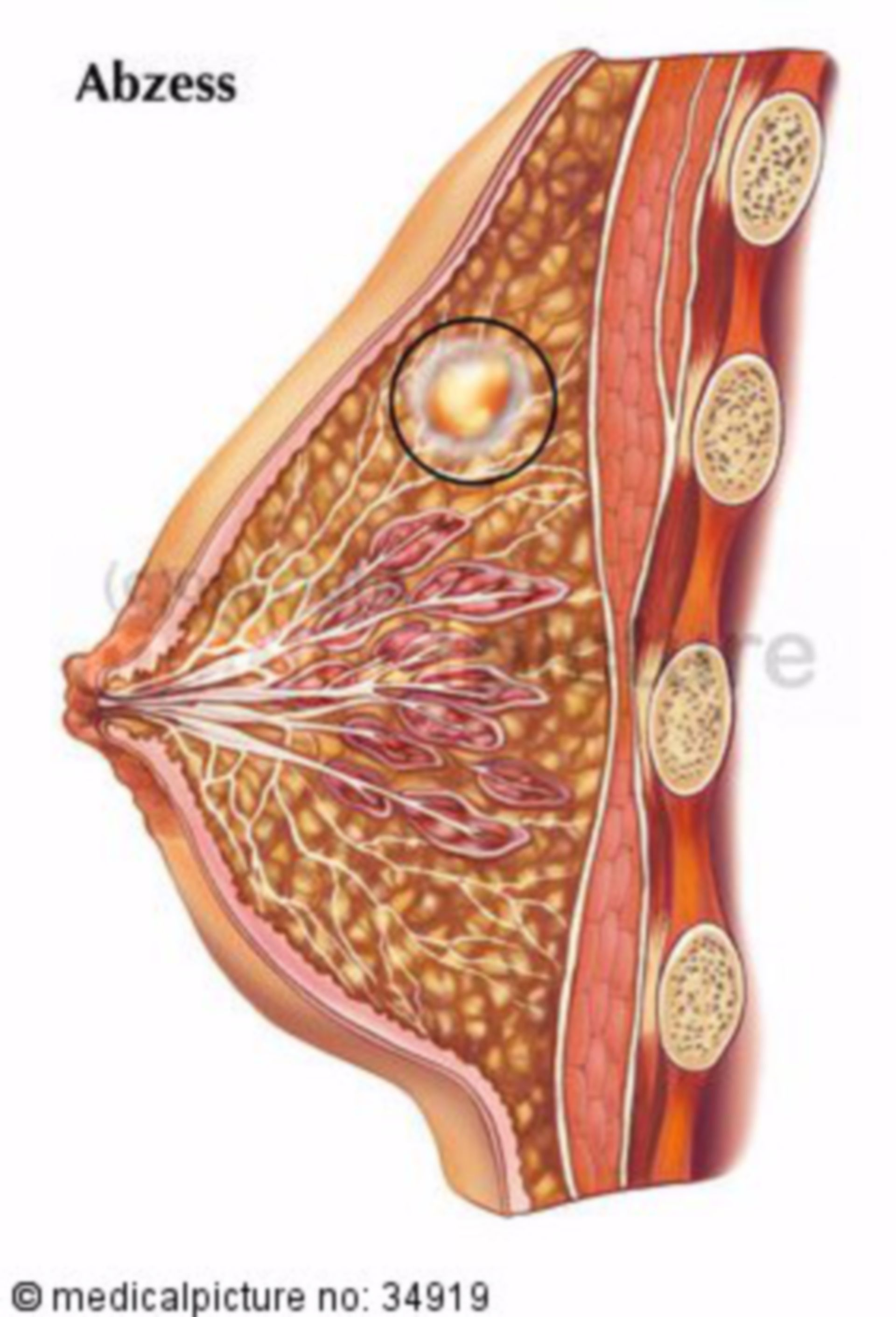Cross-section of female breast
