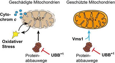 1511_Mitochondrien_schmuck