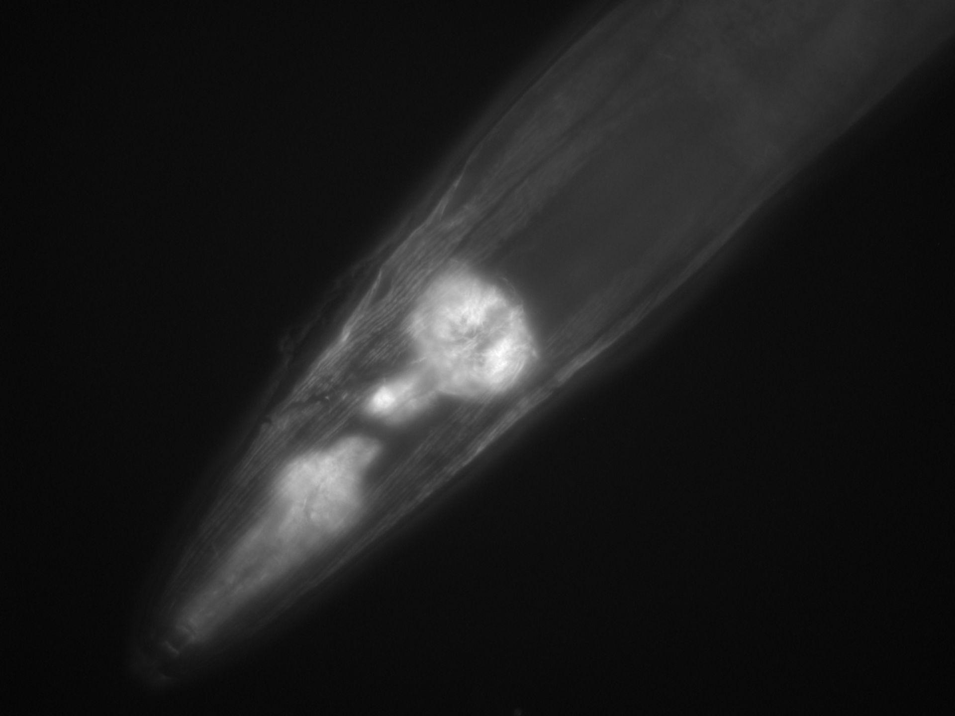 Caenorhabditis elegans (Actin filament) - CIL:1274