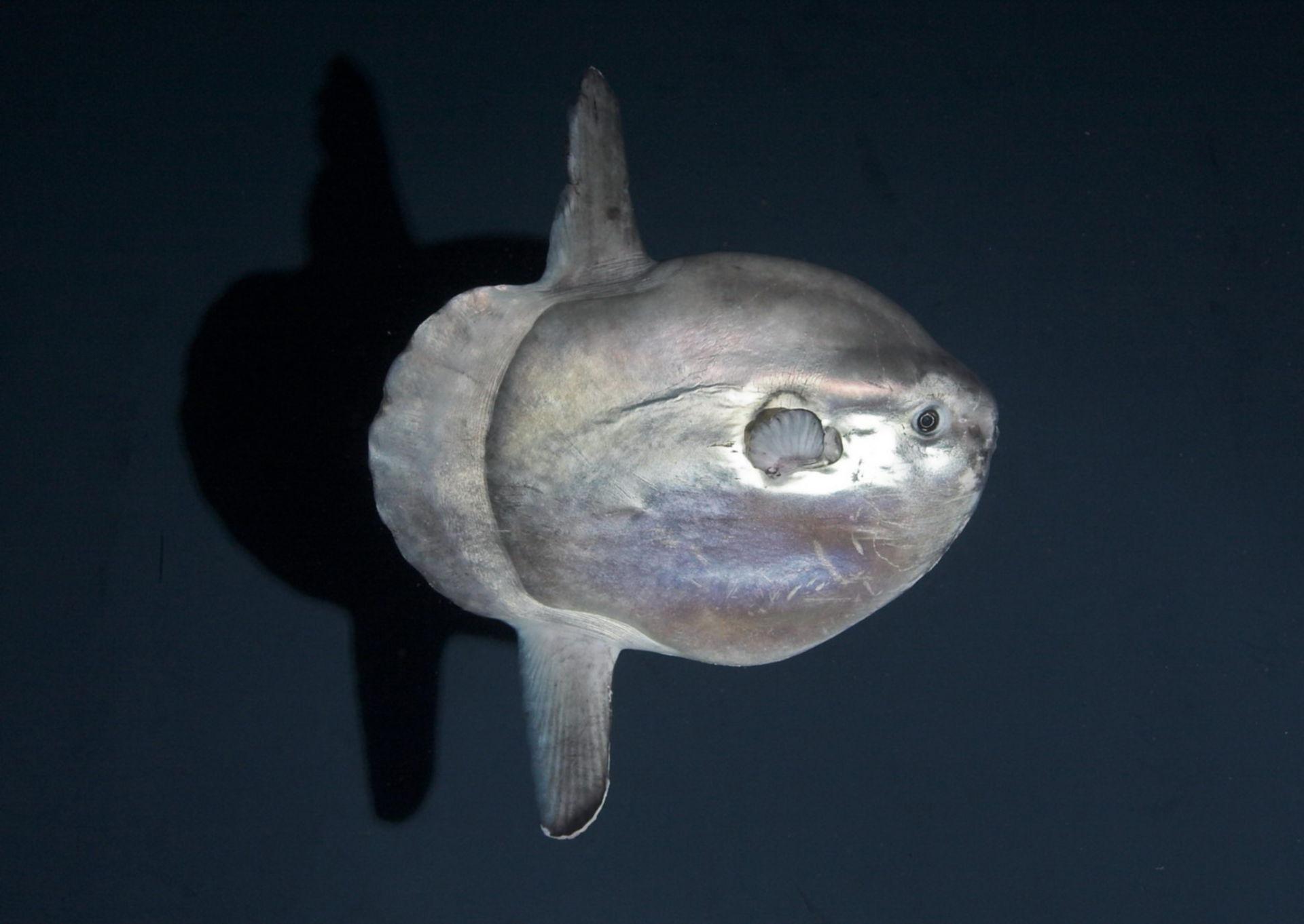 Mondfisch (Mola mola) (2)