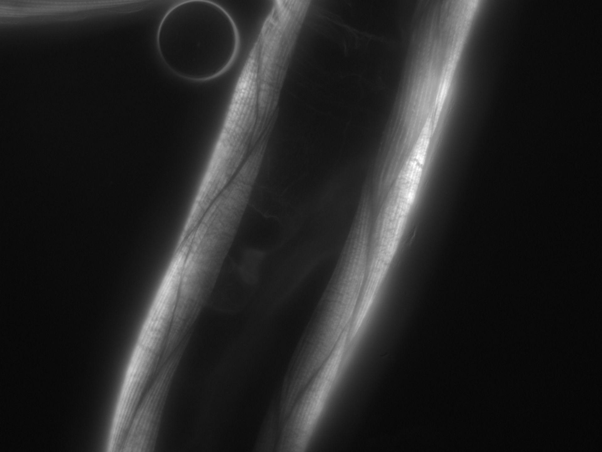 Caenorhabditis elegans (filamento di actina) - CIL:1067