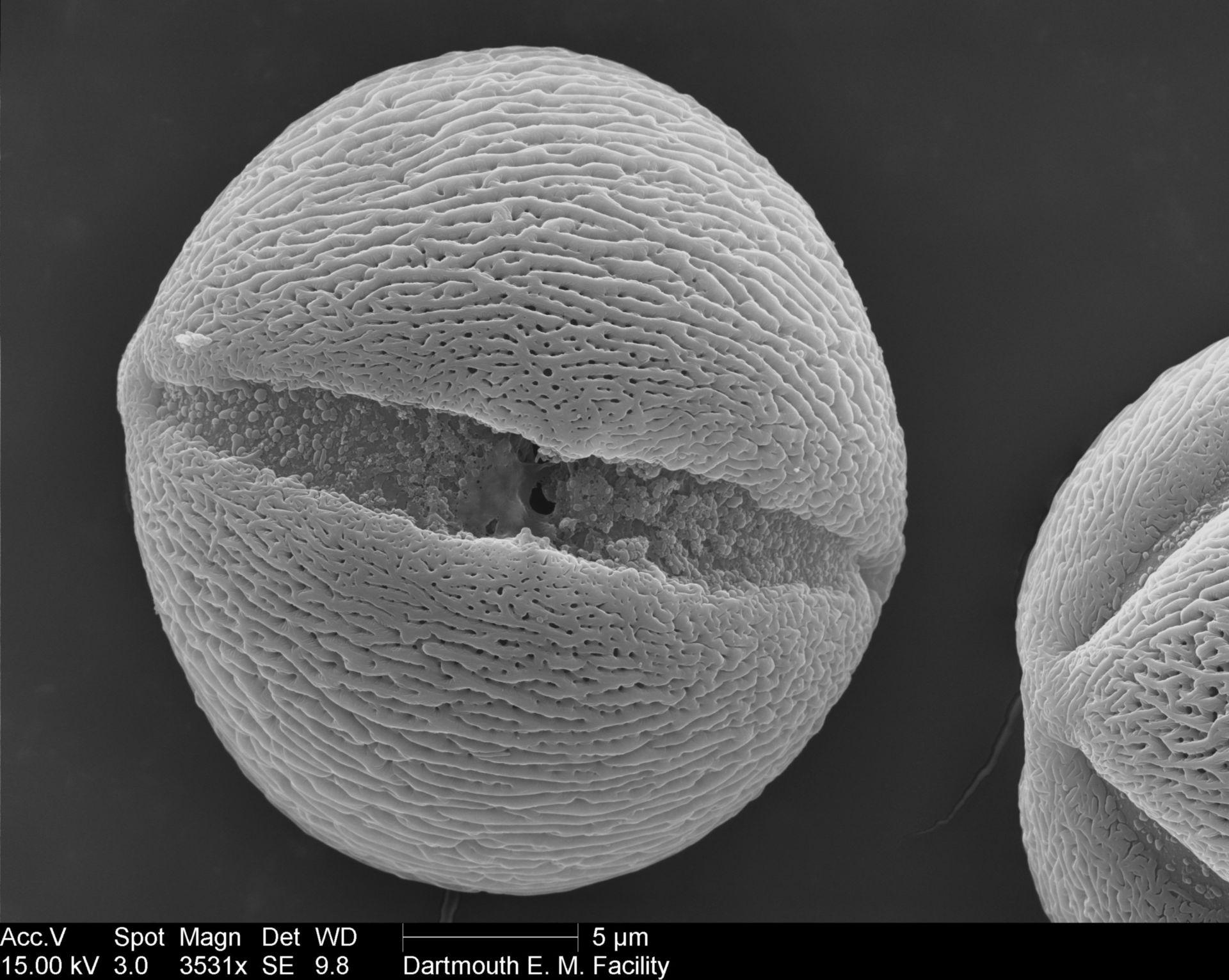 Petunia (Pollen wall) - CIL:40300
