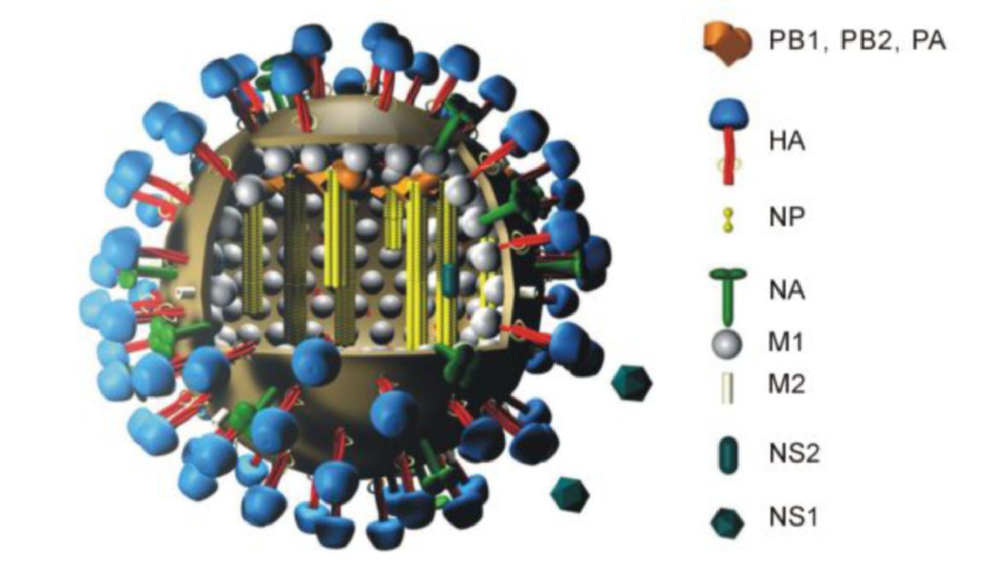 3D-Modell eines Influenzavirus