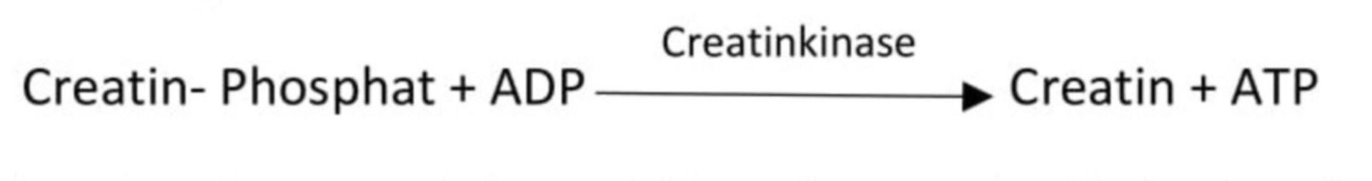 Regeneration von ATP aus Creatin- Phosphat