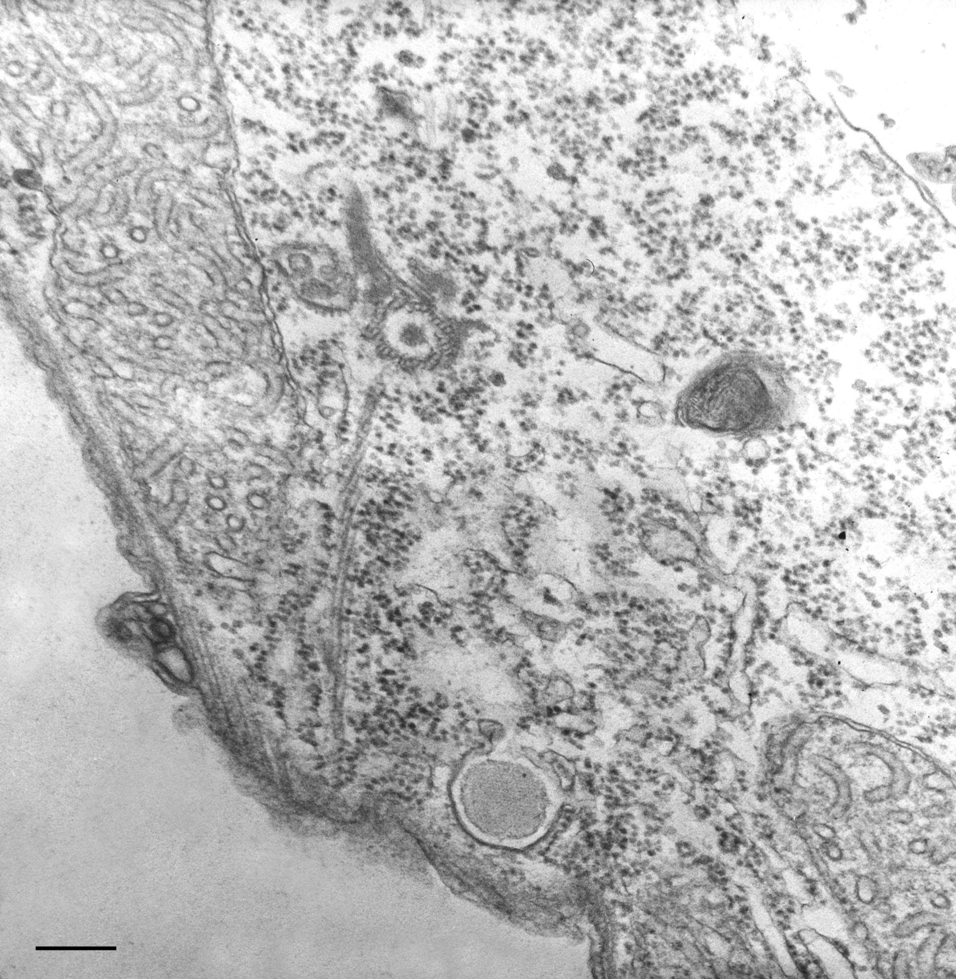 Tetrahymena pyriformis (pellicola) - CIL:36216