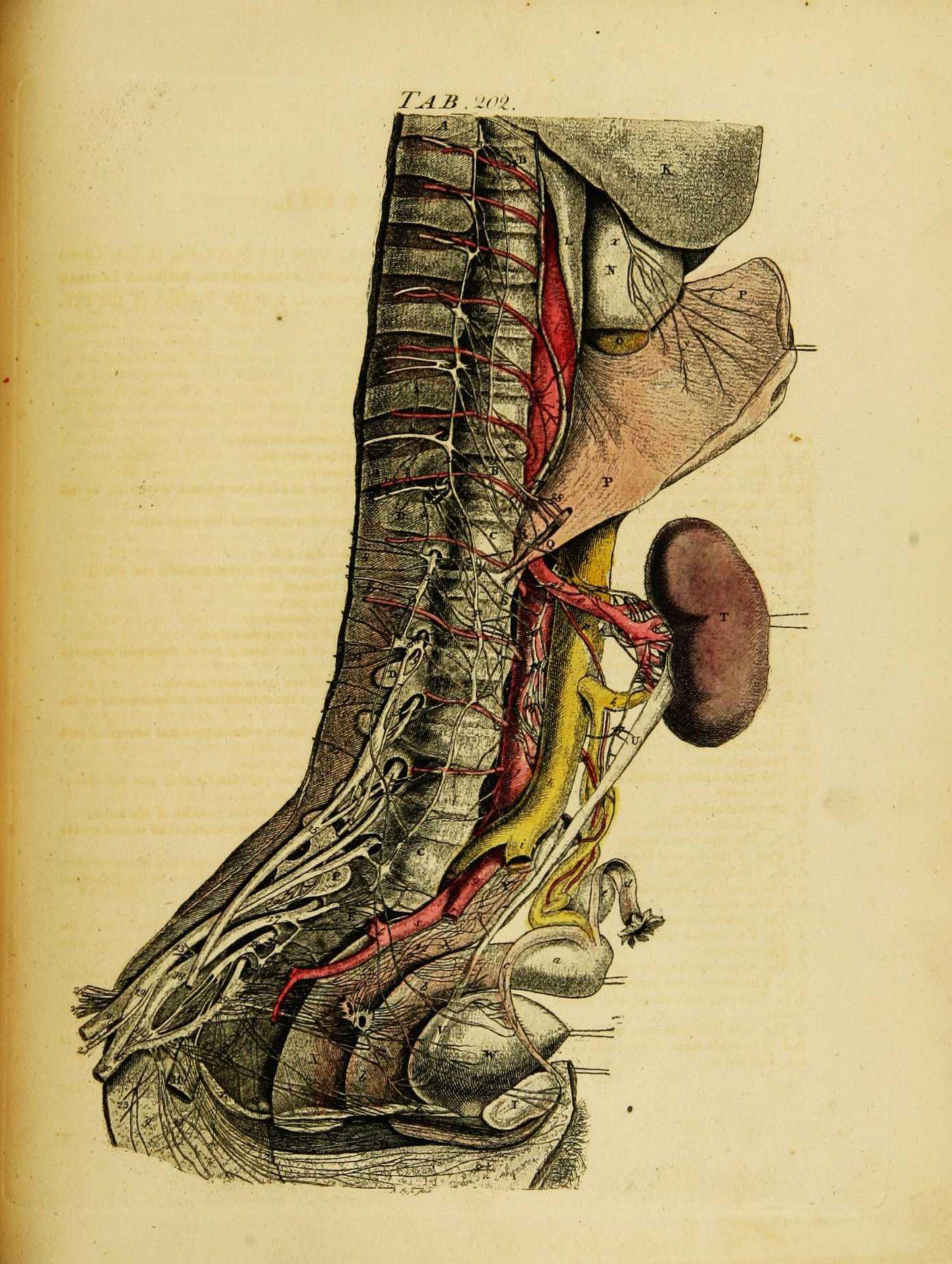 Anatomie des Gefäßsystems entlang der Wirbelsäule