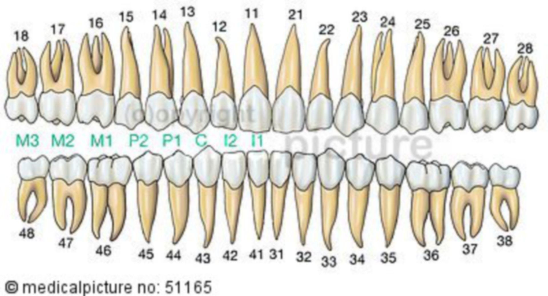 Zahnreihen des Gebisses