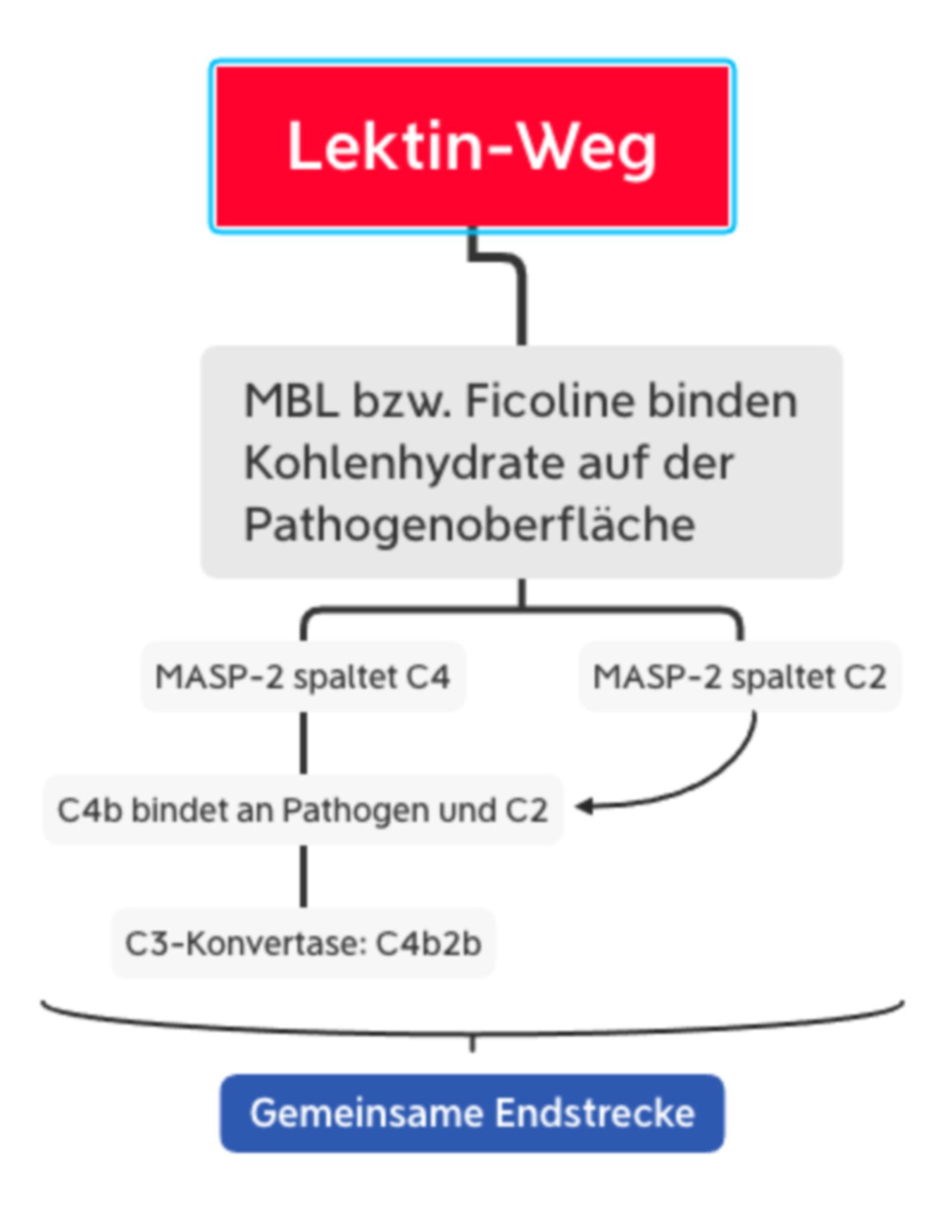 Komplementsystem - Lektinweg