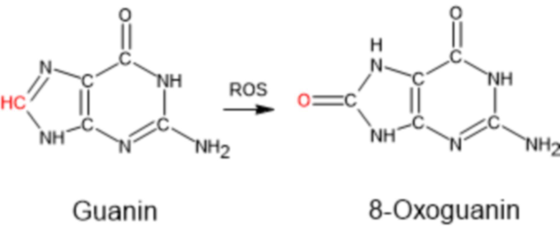 Bildung von 8-Oxoguanin