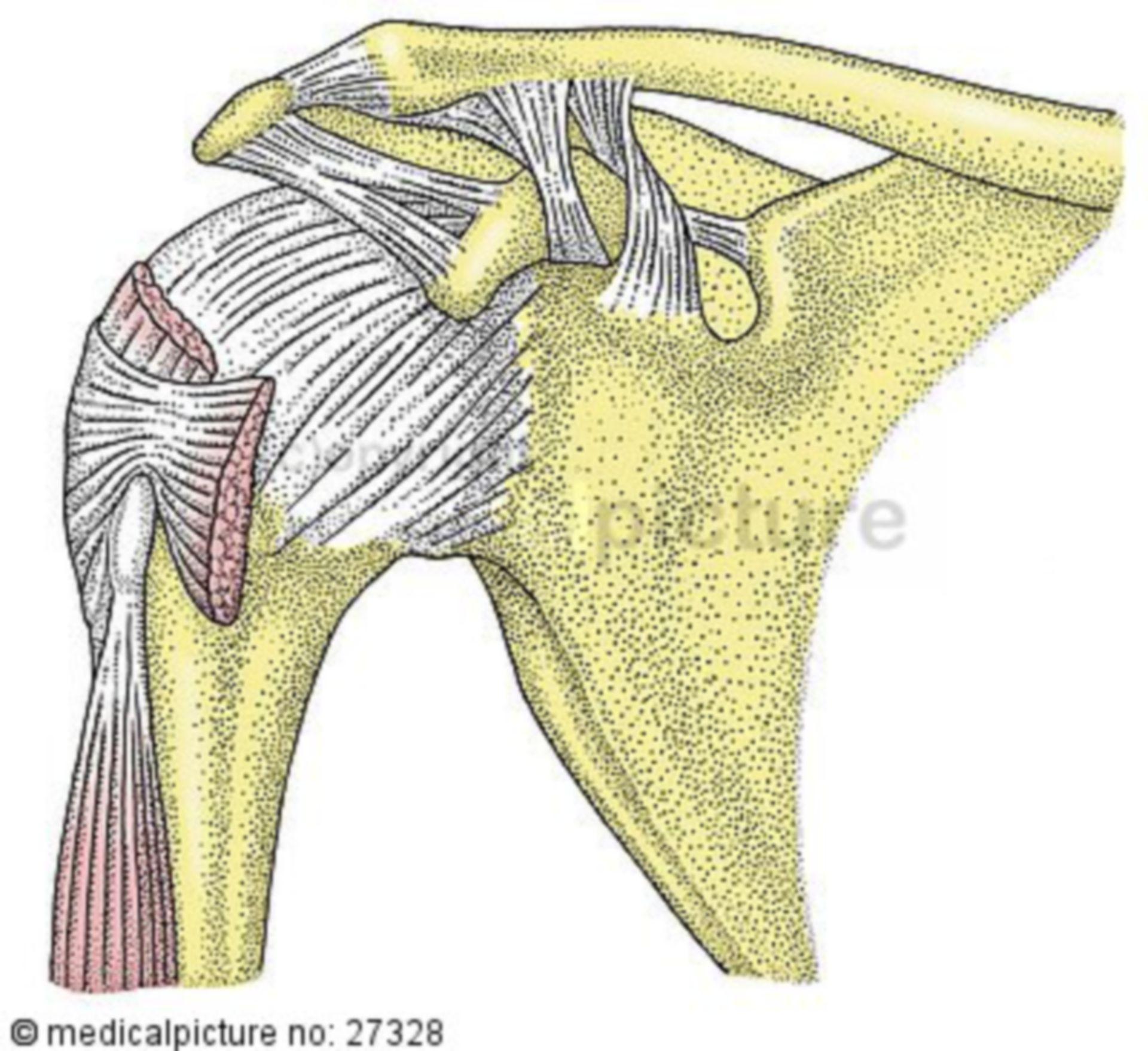 Bandapparat des Schultergelenks