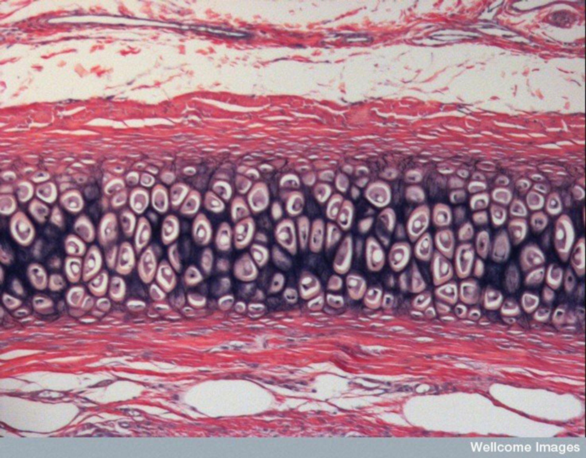 Lichtmikroskopische Aufnahme des elastischen Knorpels des Ohres