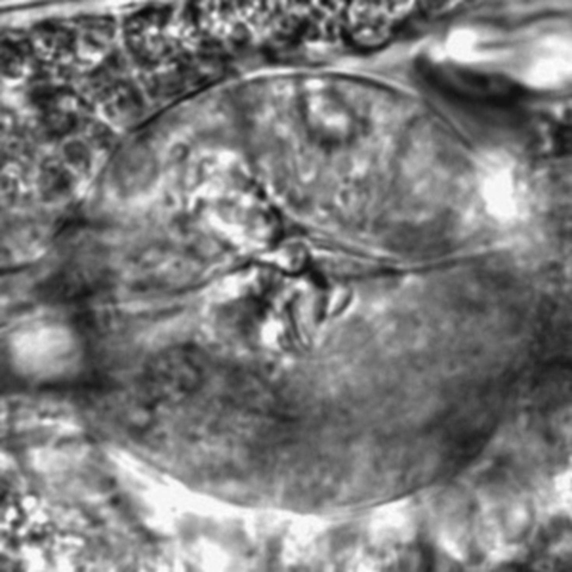 Caenorhabditis elegans - CIL:2727