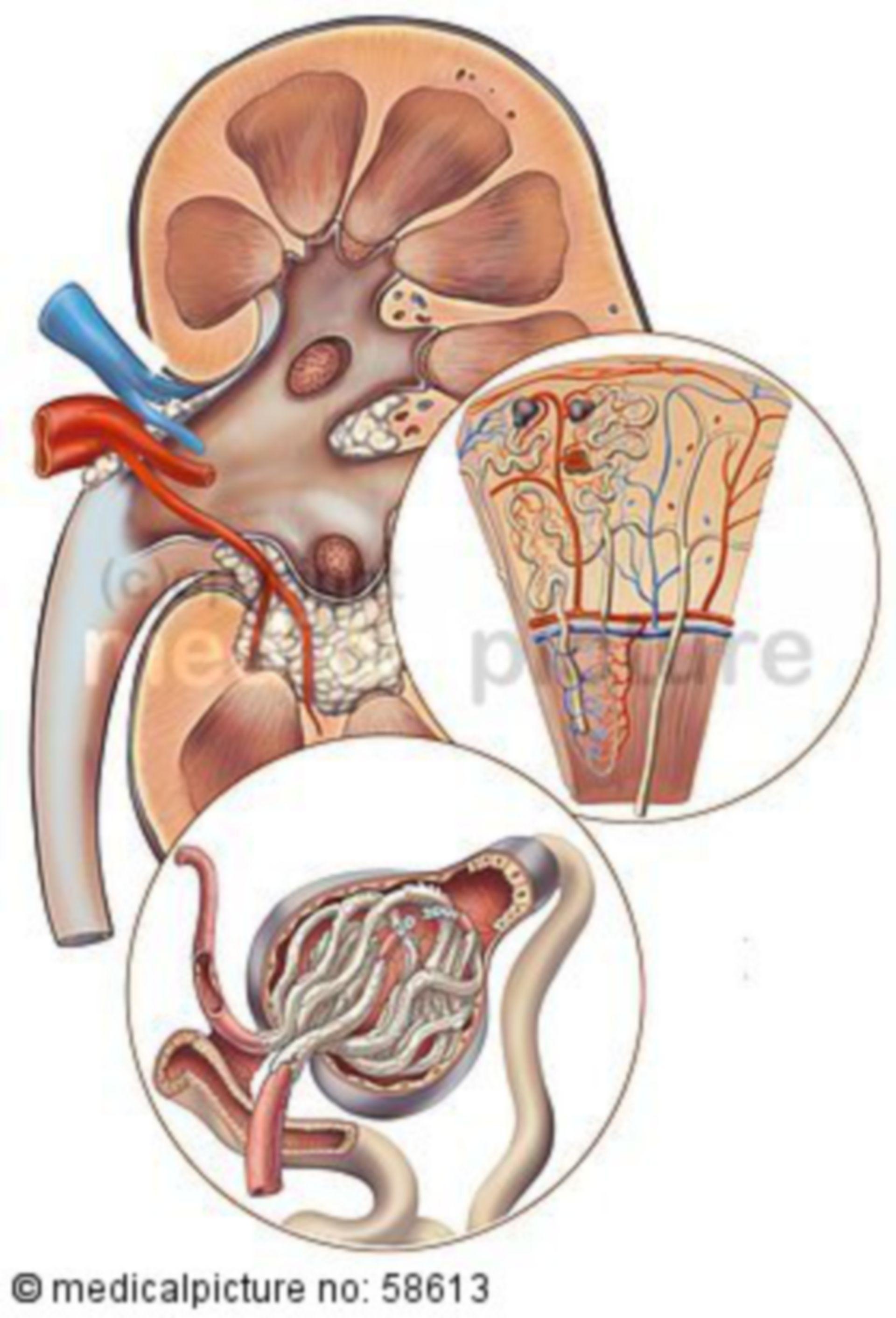 Niere und Nierenkörperchen